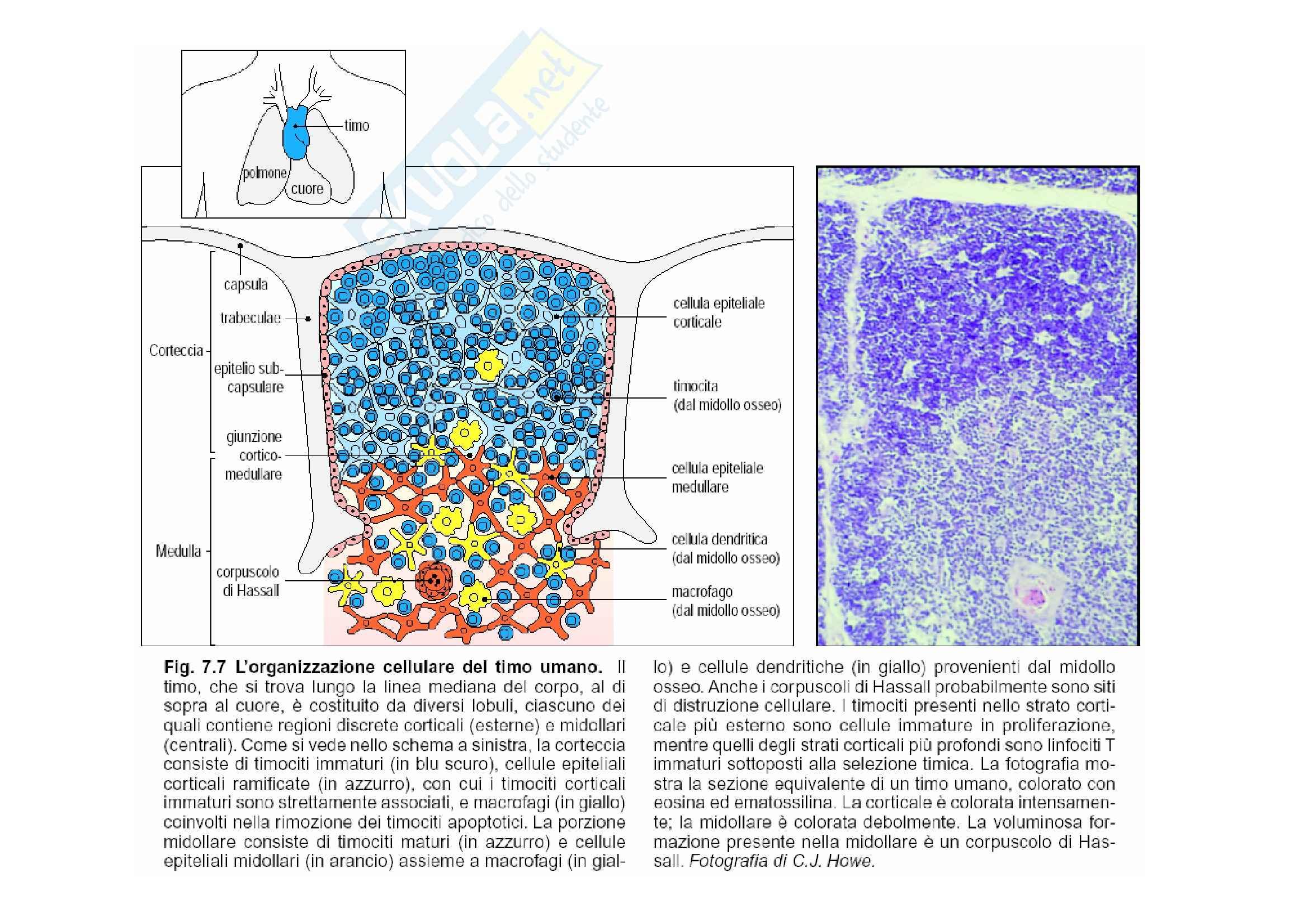Immunologia - sviluppo intratimico dei linfociti T Pag. 2