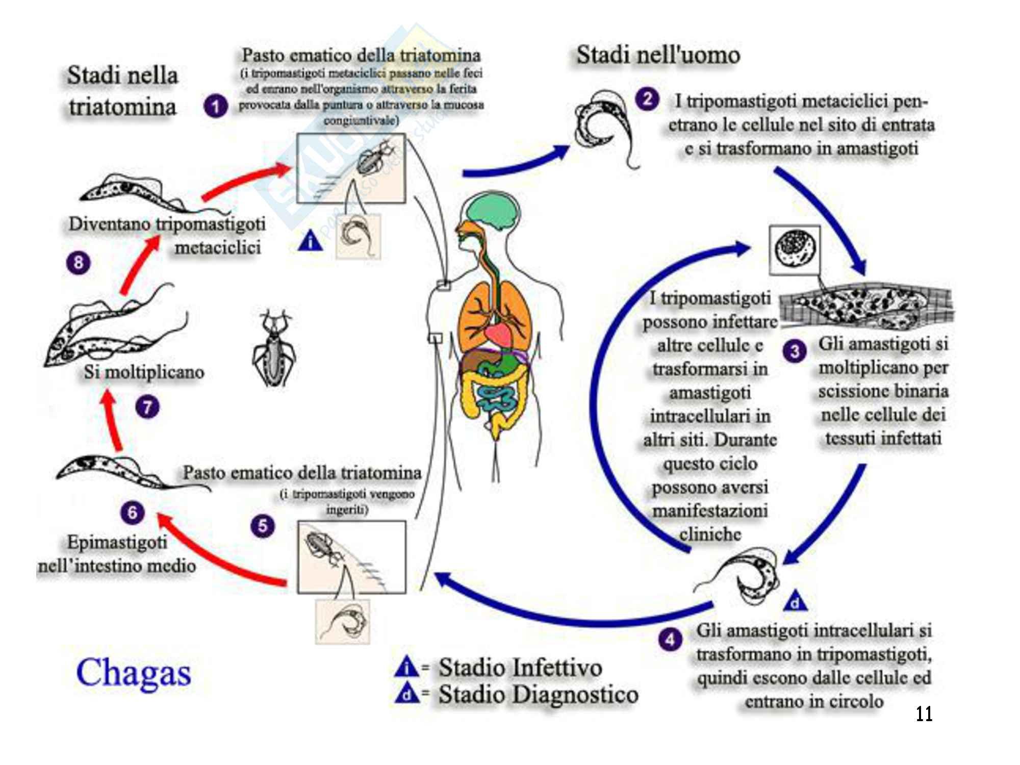 Protisti, zoologia, scienze biologiche Pag. 11