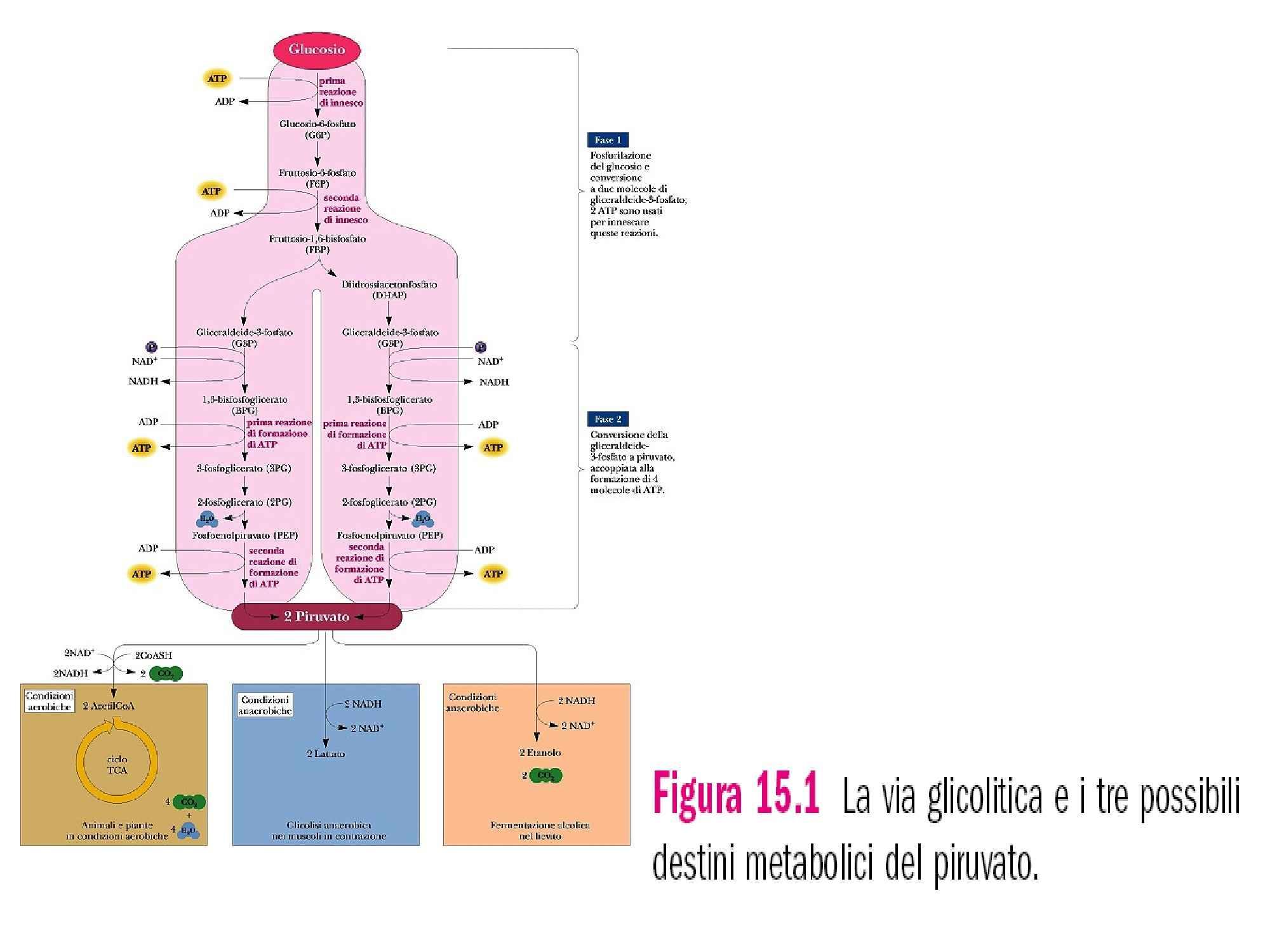 Glicolisi - Respirazione cellulare