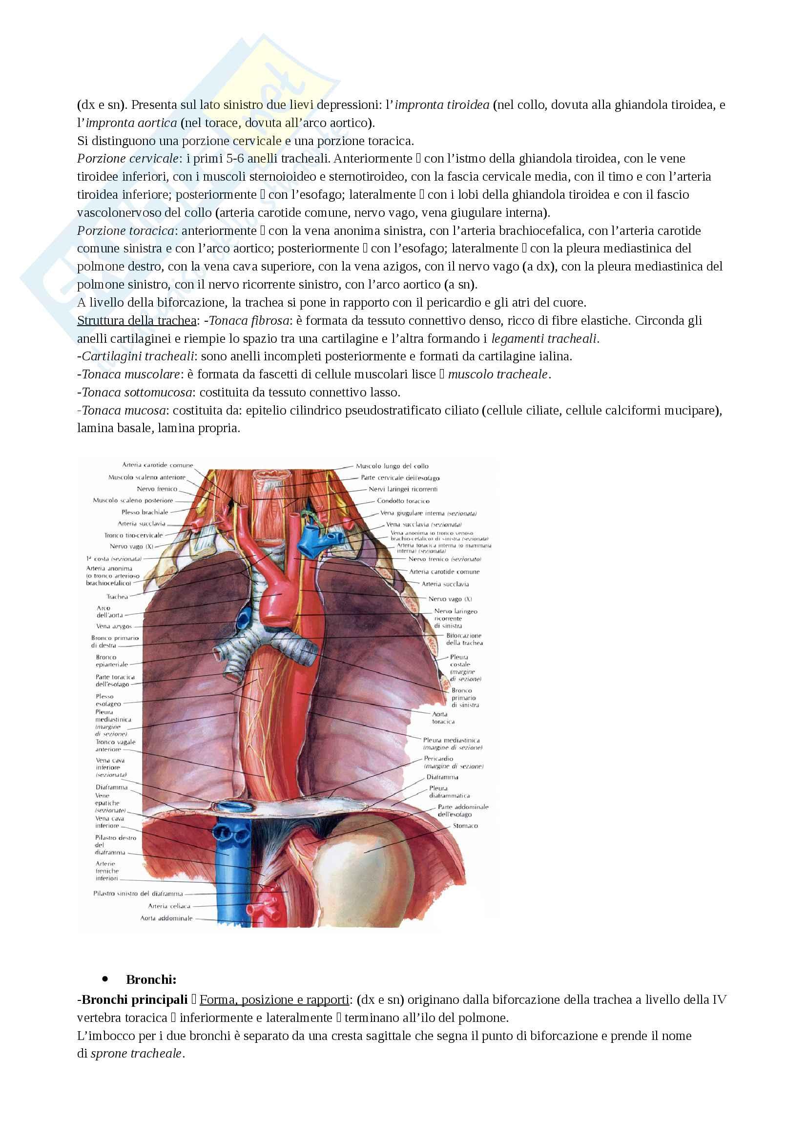Riassunto con immagini sull'apparato respiratorio Pag. 6