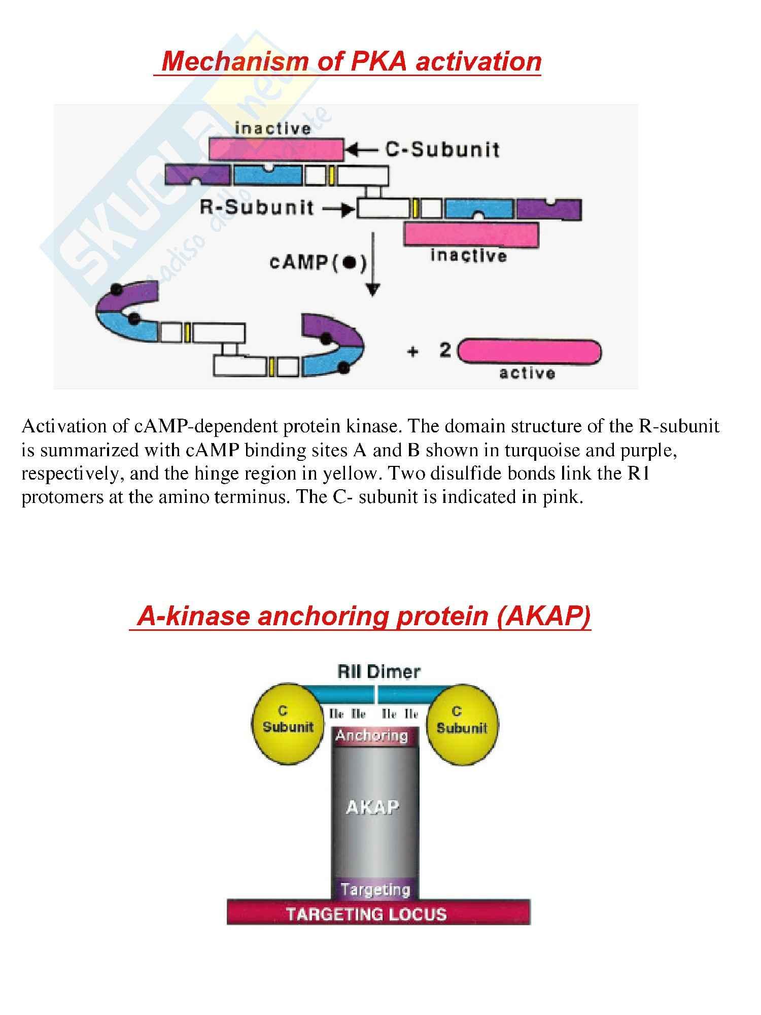 Proteina chinasi A, dipendente dal cAMP: attivazione
