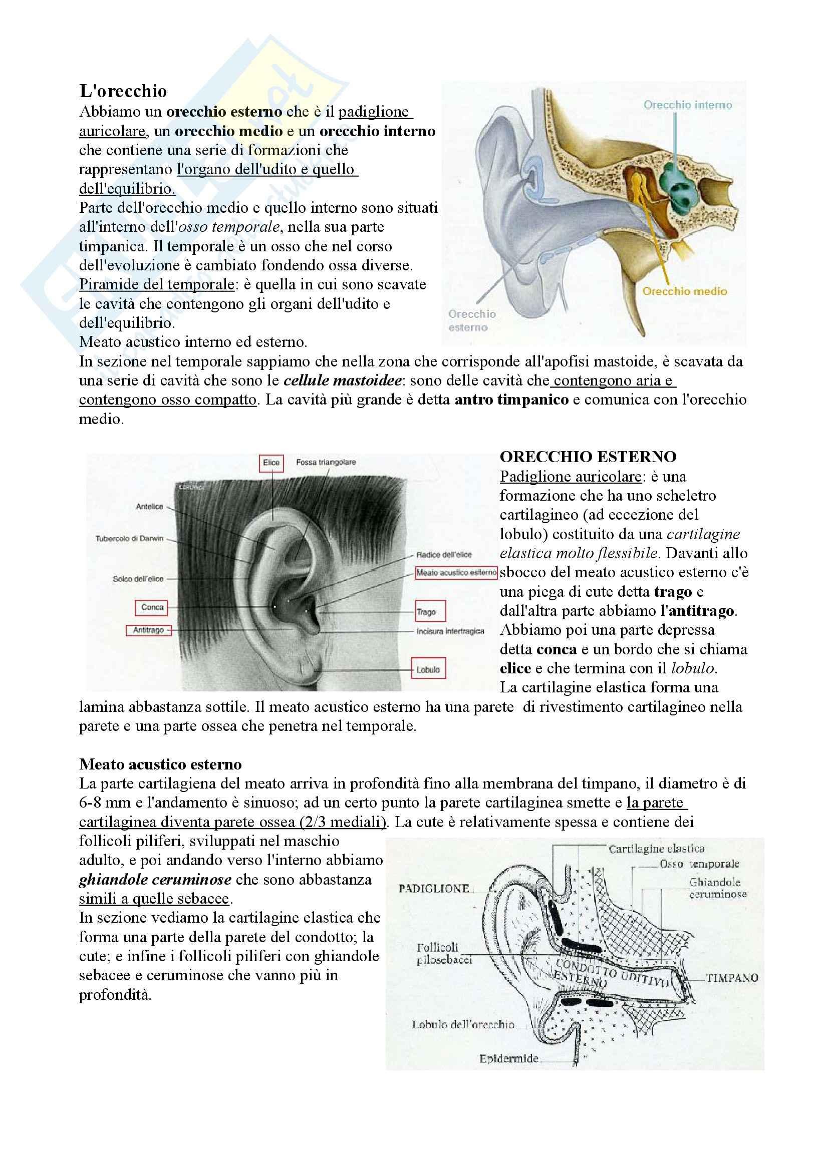 Orecchio, Anatomia