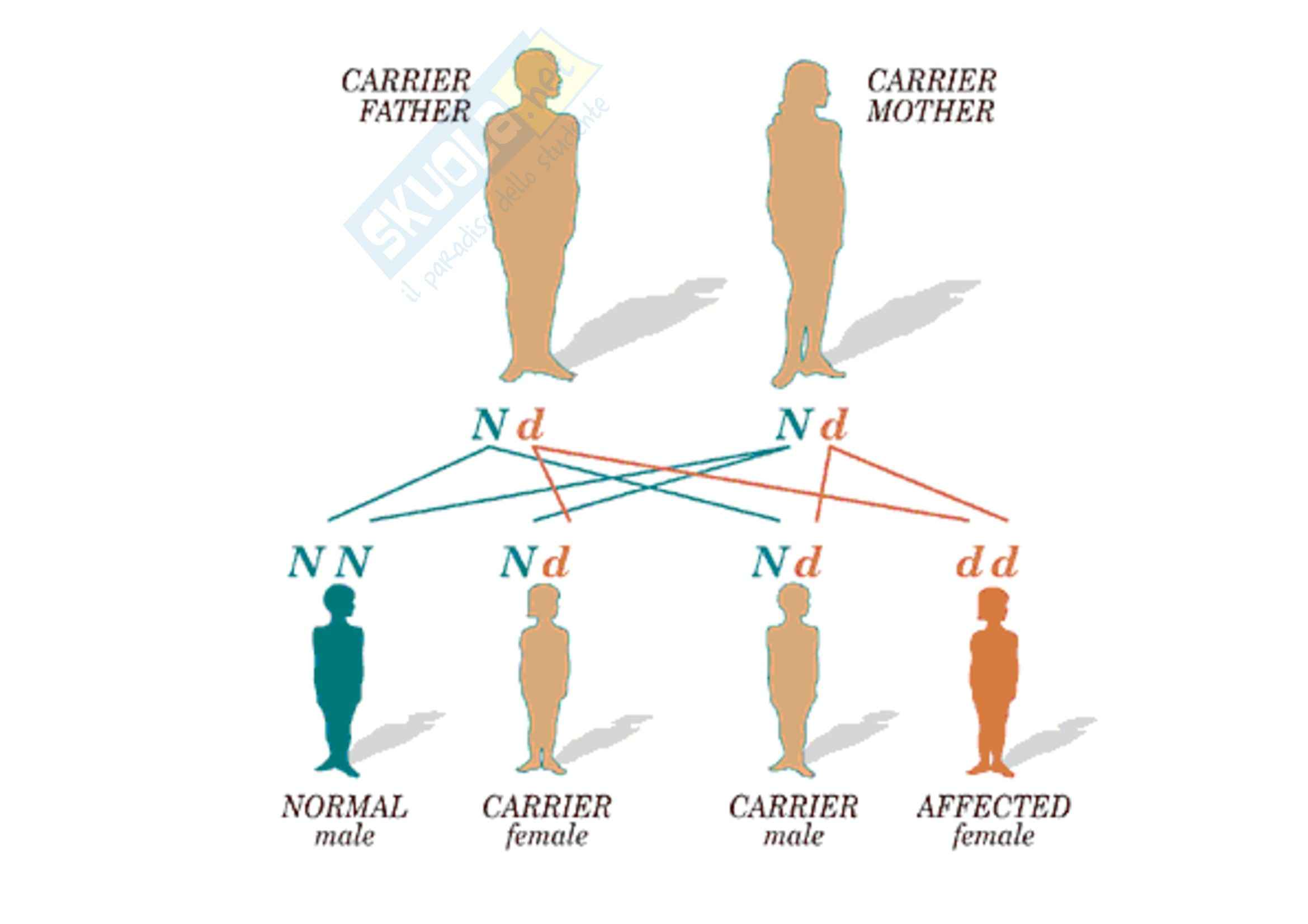 Genetica umana - alleli e Mendel - Appunti Pag. 41