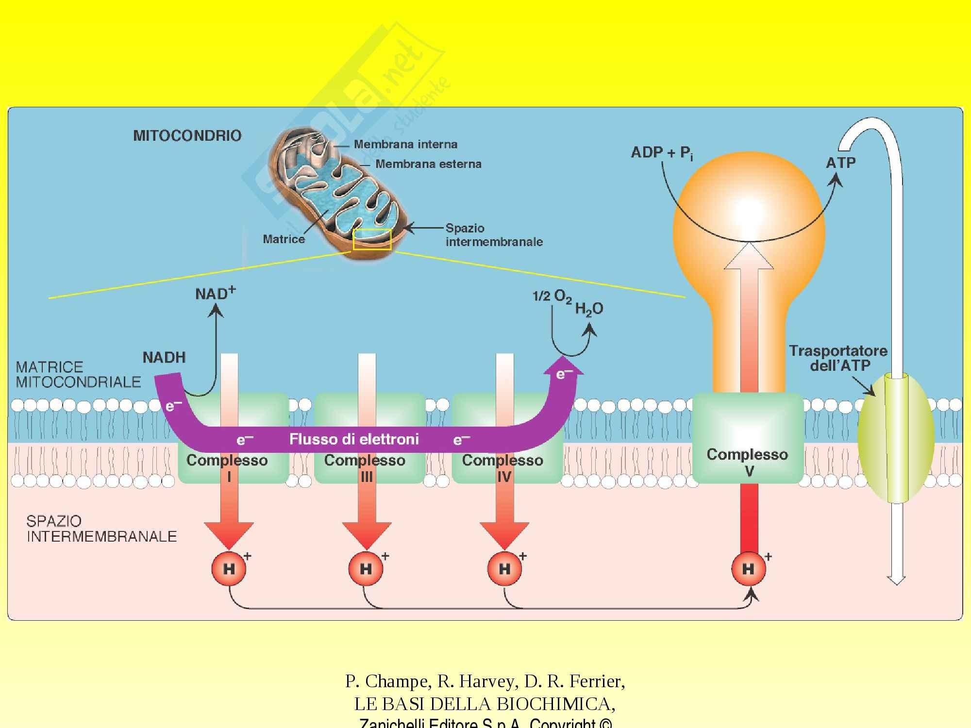 Biochimica - catena respiratoria e fosforilazione Pag. 26