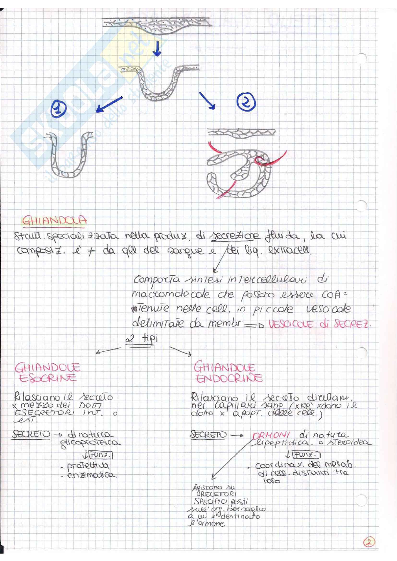 Istologia (esame istologia ed embriologia) Pag. 21