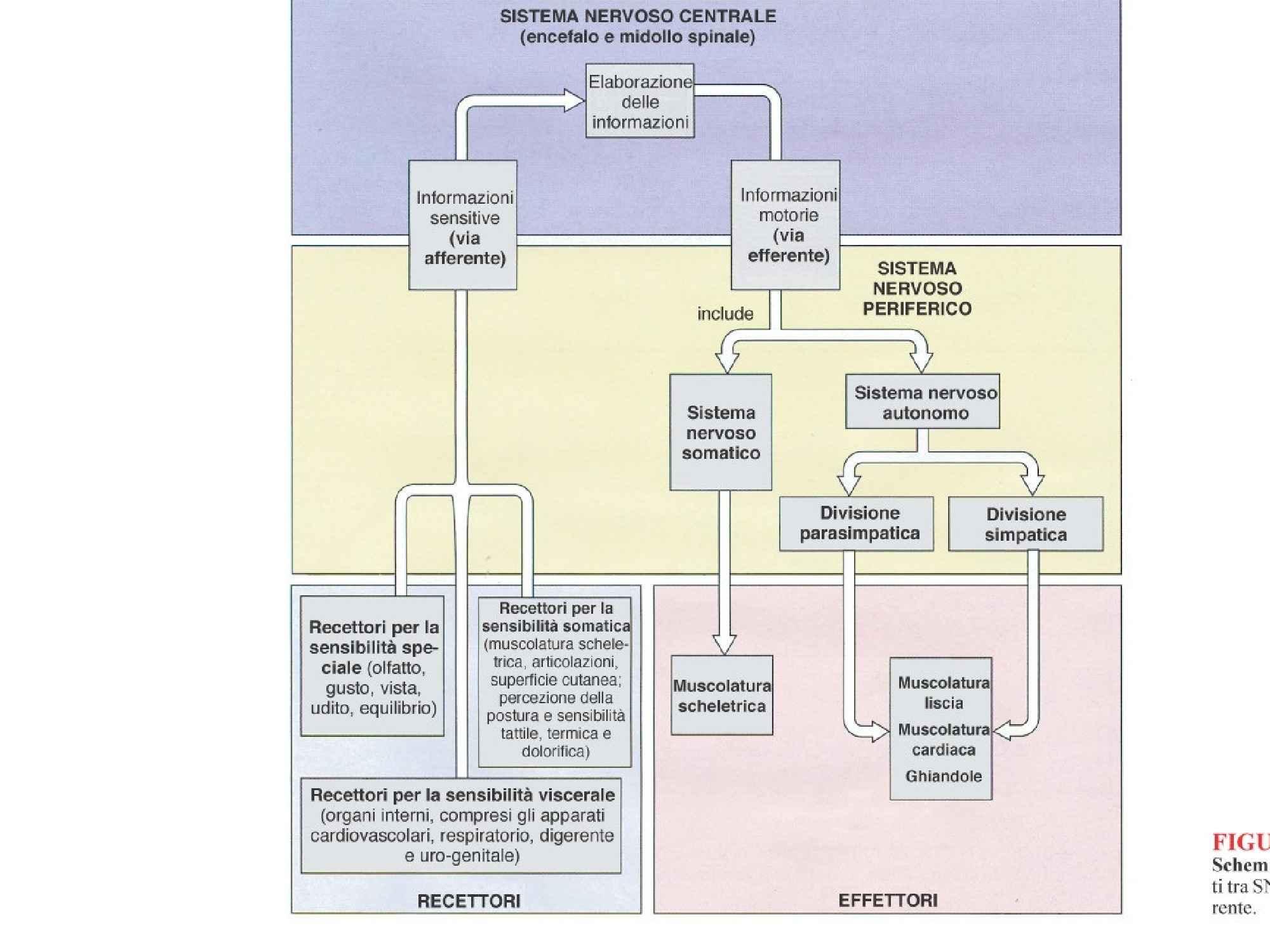 Sistema Nervoso - Trattazione generale