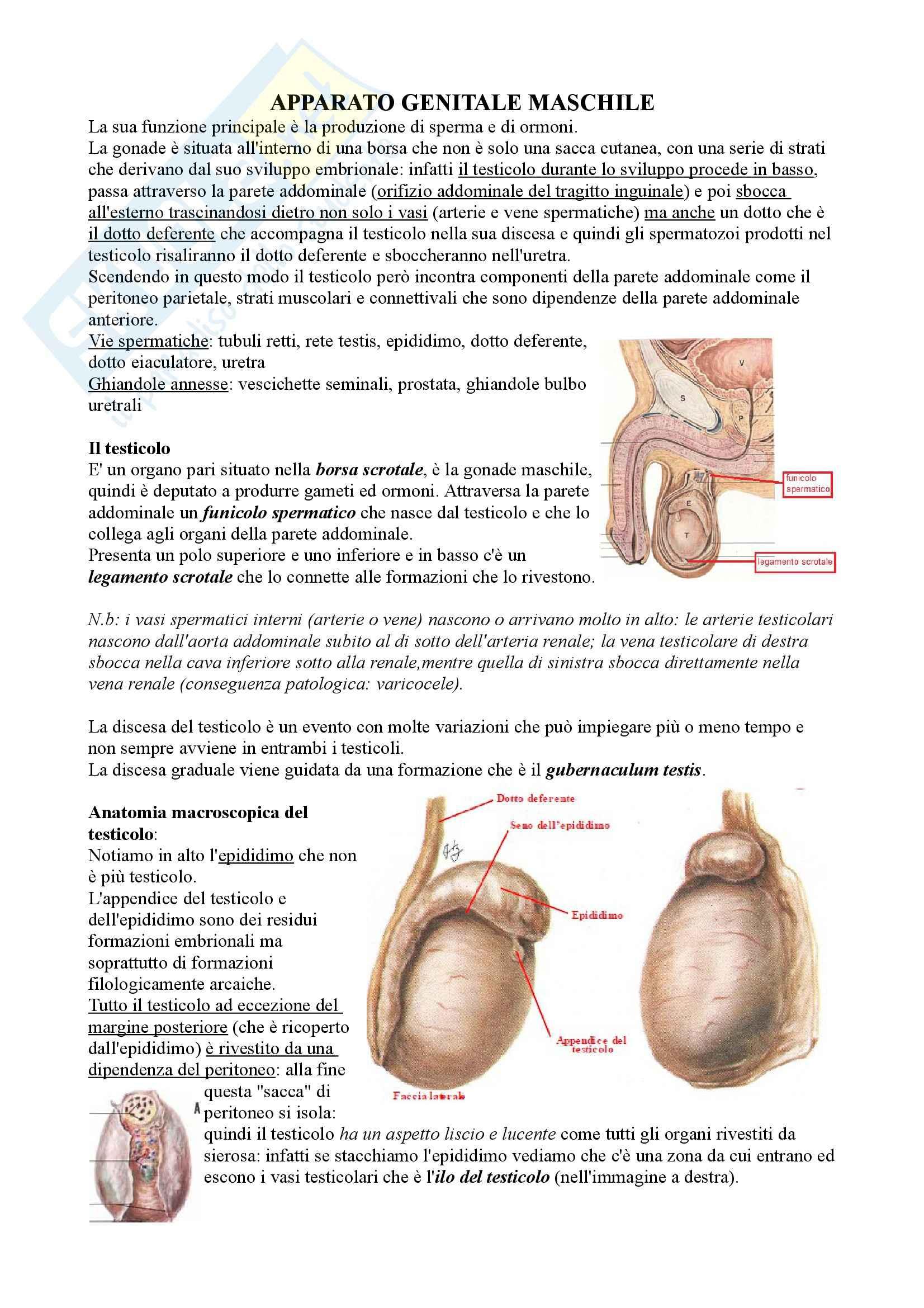 Apparato Genitale Maschile, Anatomia