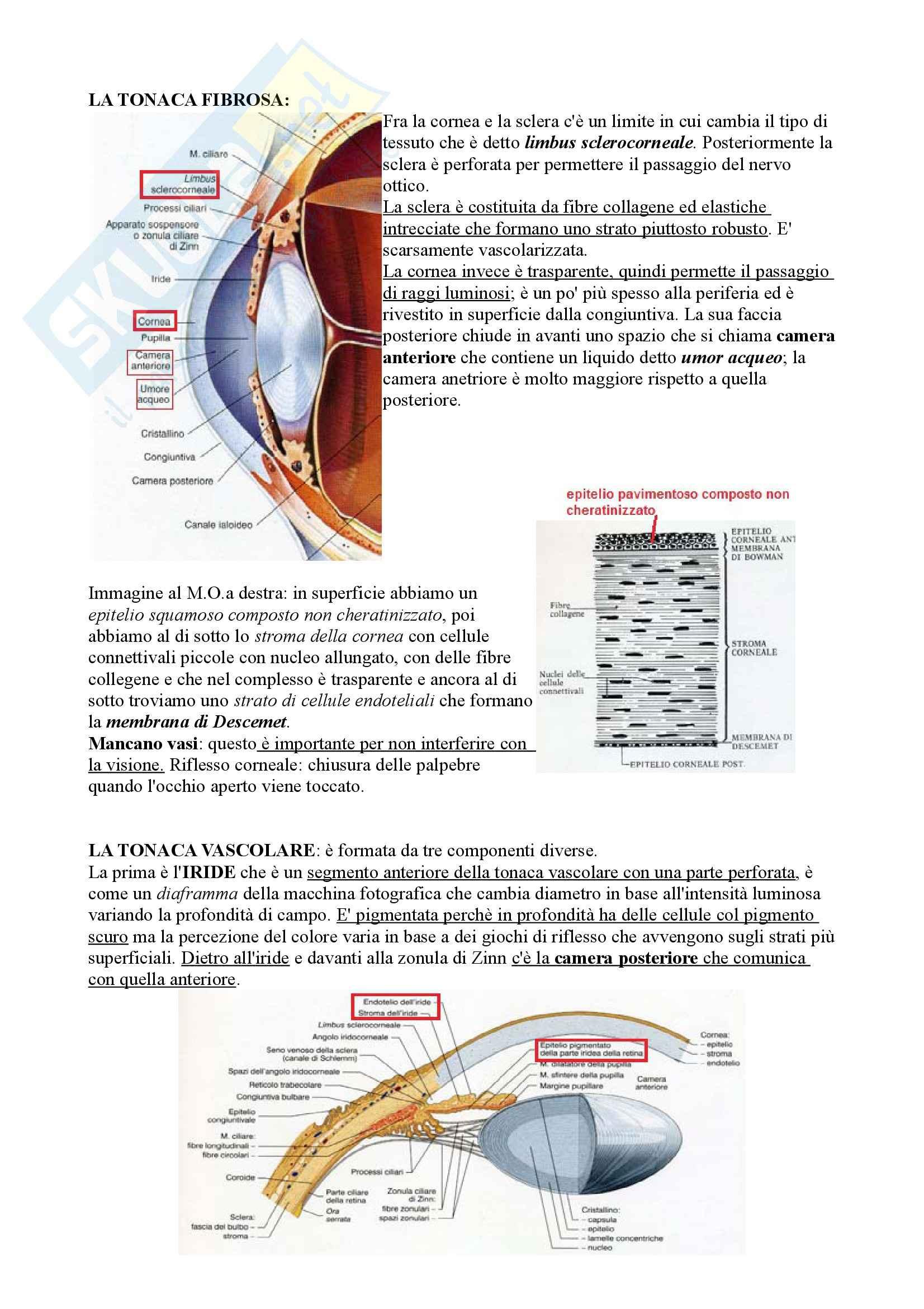 Occhio e  visione, Anatomia Pag. 2