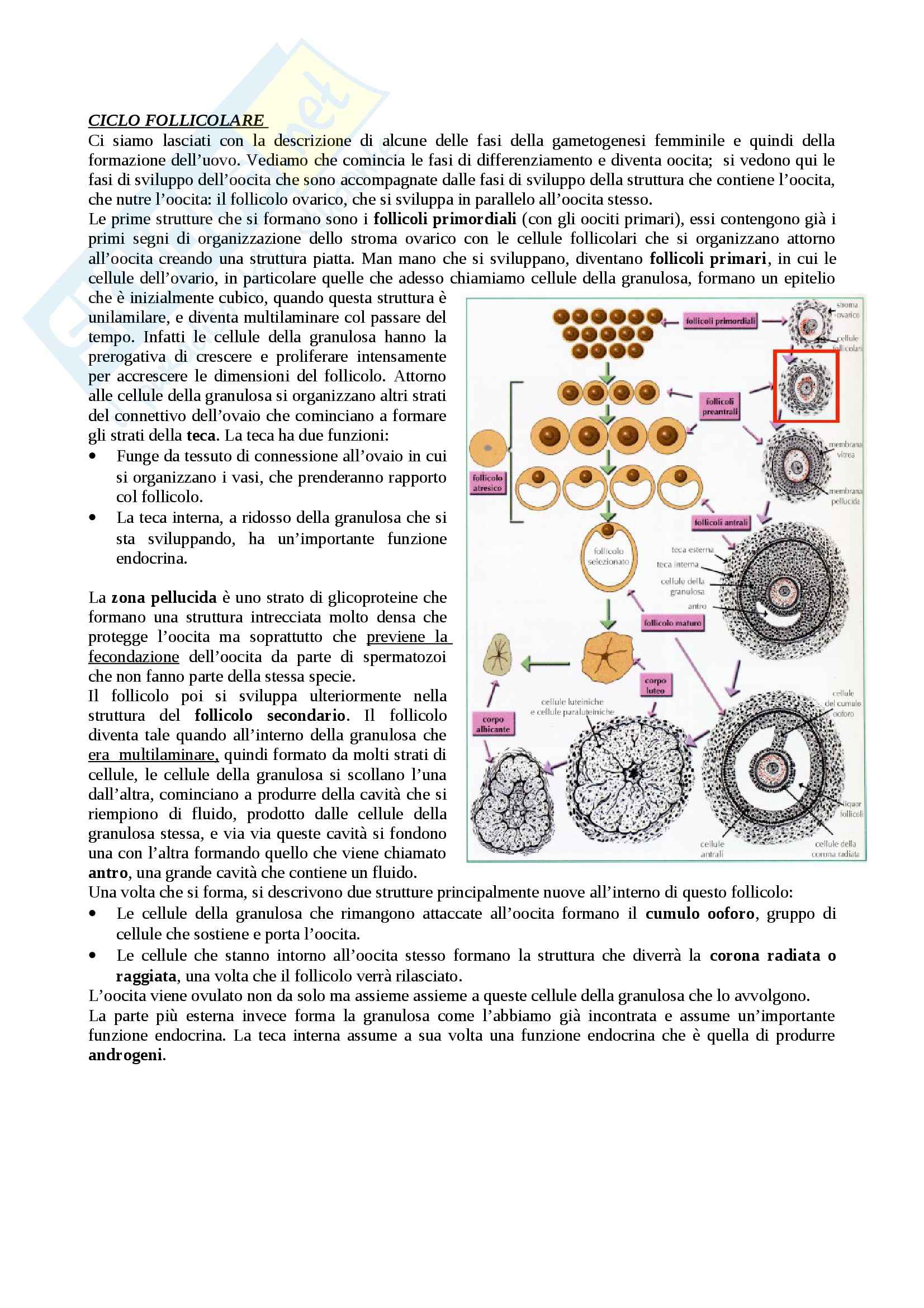 Ciclo follicolare e Fecondazione, Embriologia