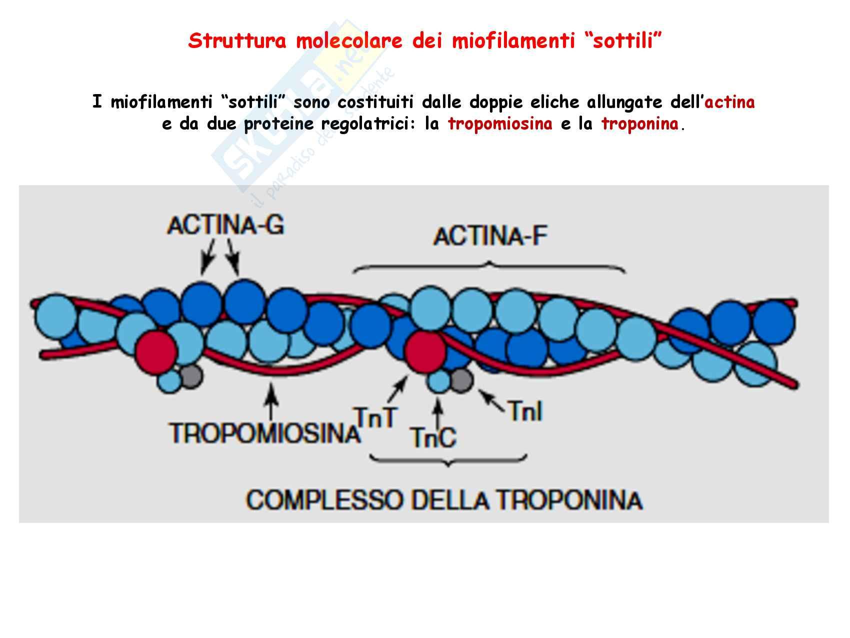 30 Metabolismo energetico nel muscolo a riposo e in esercizio Pag. 11