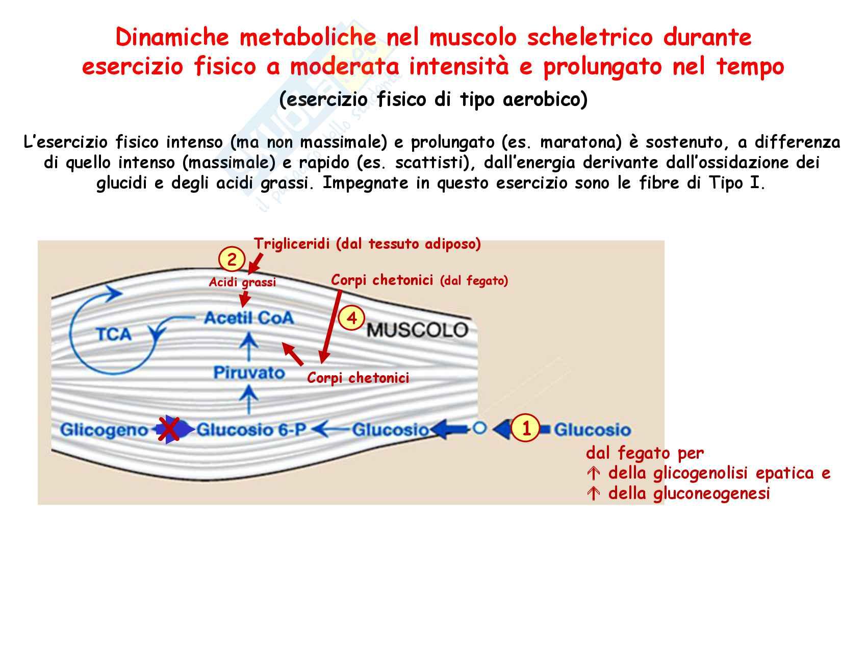 30 Metabolismo energetico nel muscolo a riposo e in esercizio Pag. 31