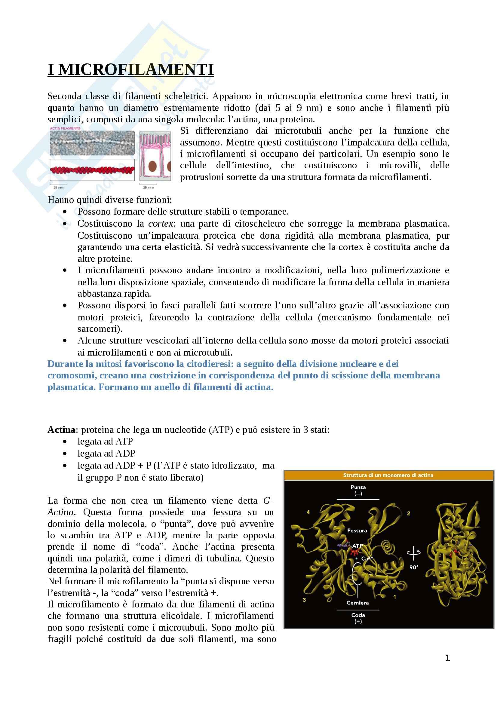 Citologia - microfilamenti e i filamenti intermedi