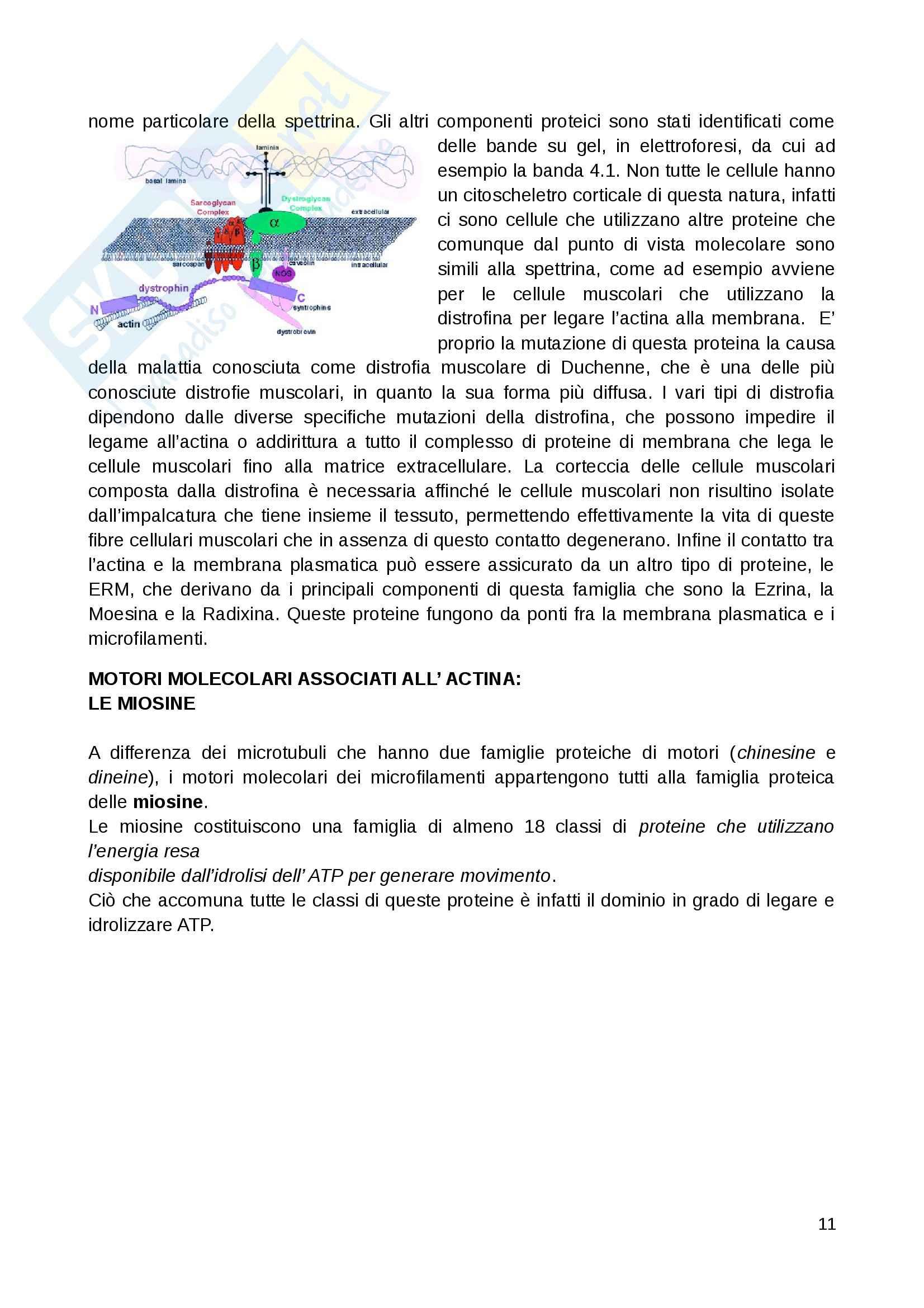 Citologia - microfilamenti e i filamenti intermedi Pag. 11