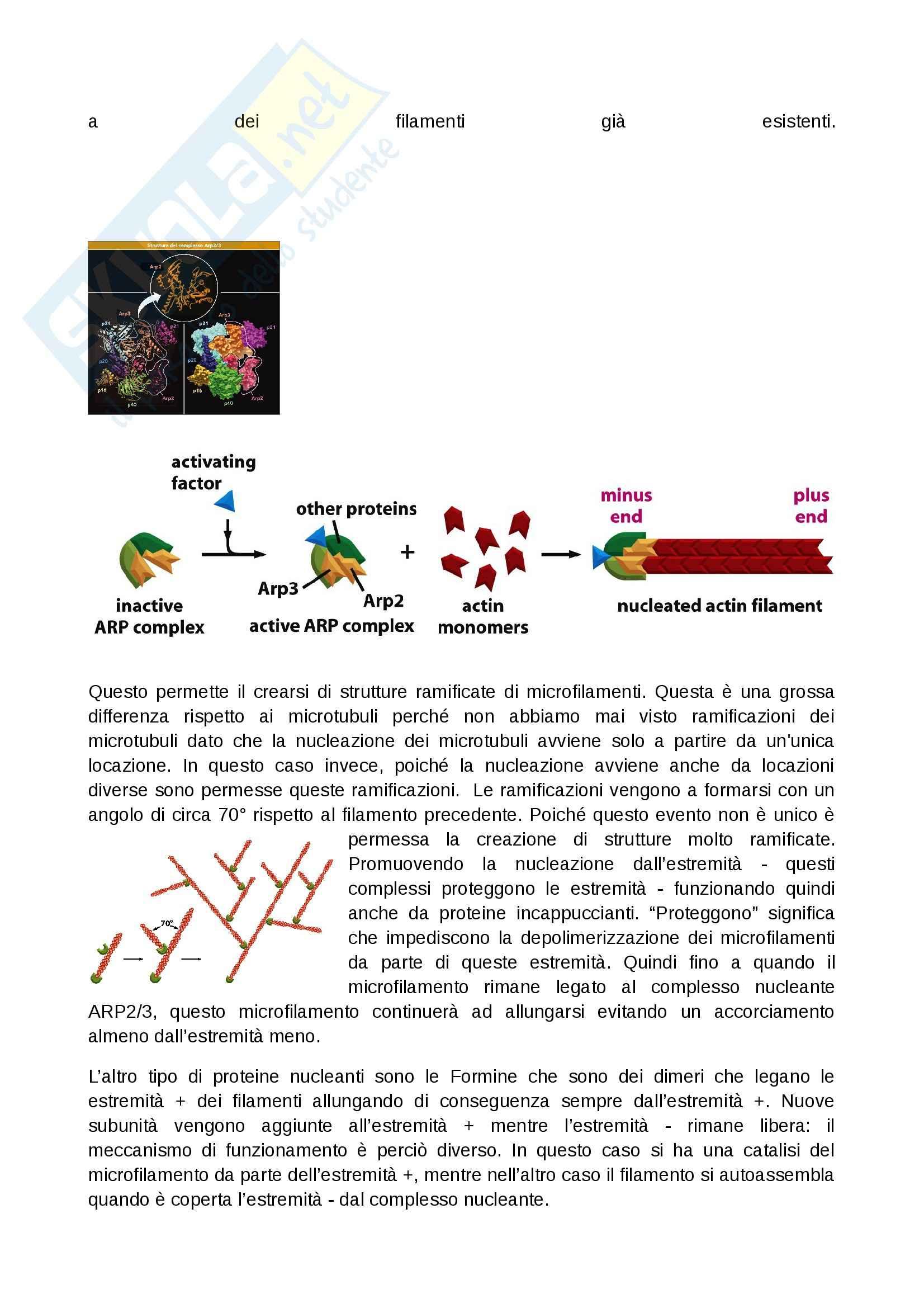 Citologia - microfilamenti e i filamenti intermedi Pag. 6