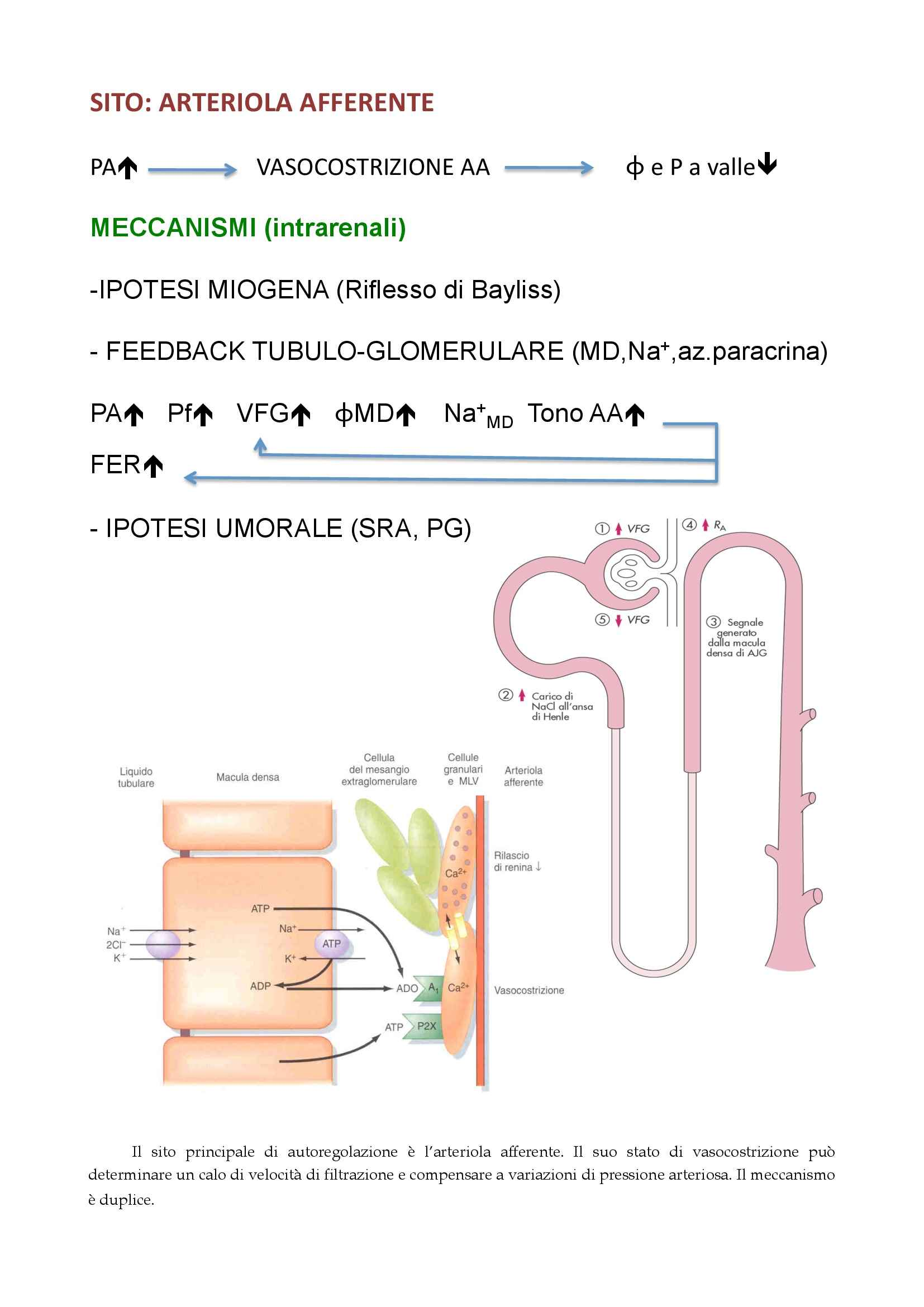 Fisiologia - fisiologia renale Pag. 51