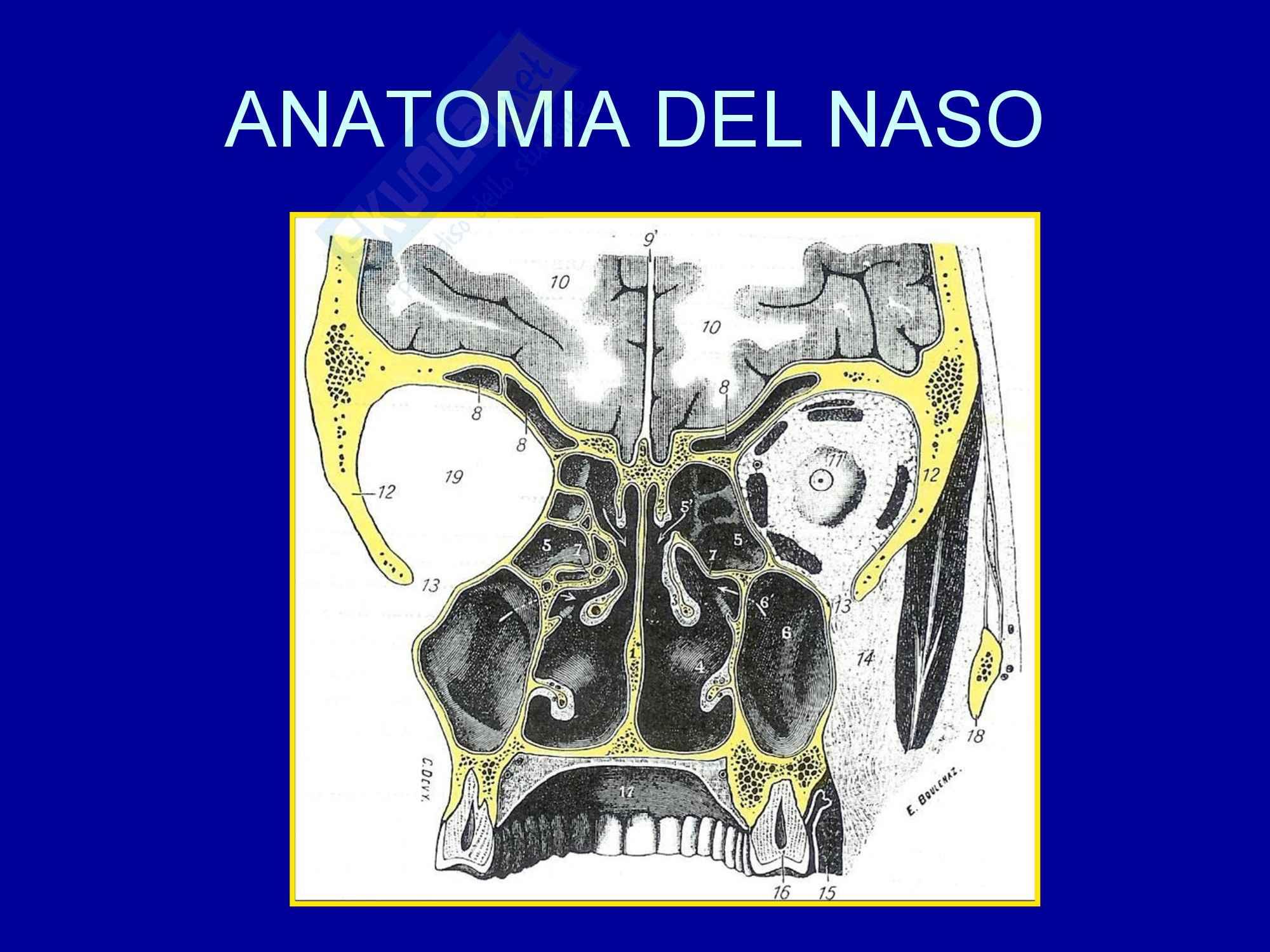 Otorinolaringoiatria - Anatomia del naso