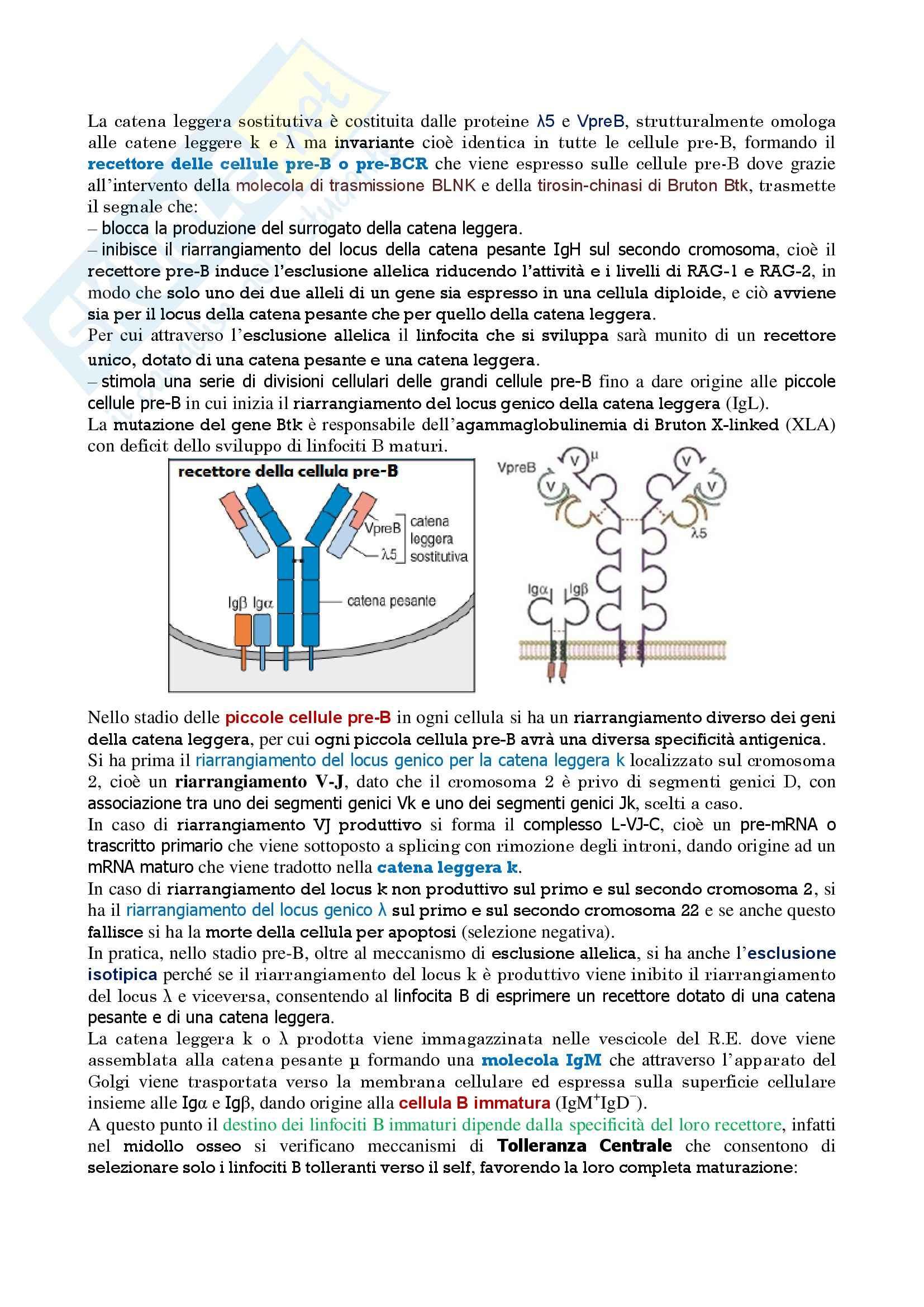 Immunologia - maturazione linfociti B Pag. 2