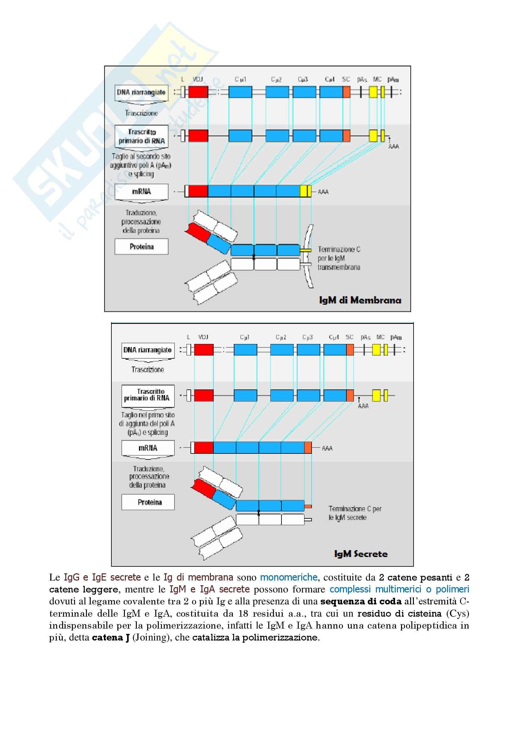 Immunologia - maturazione linfociti B Pag. 6
