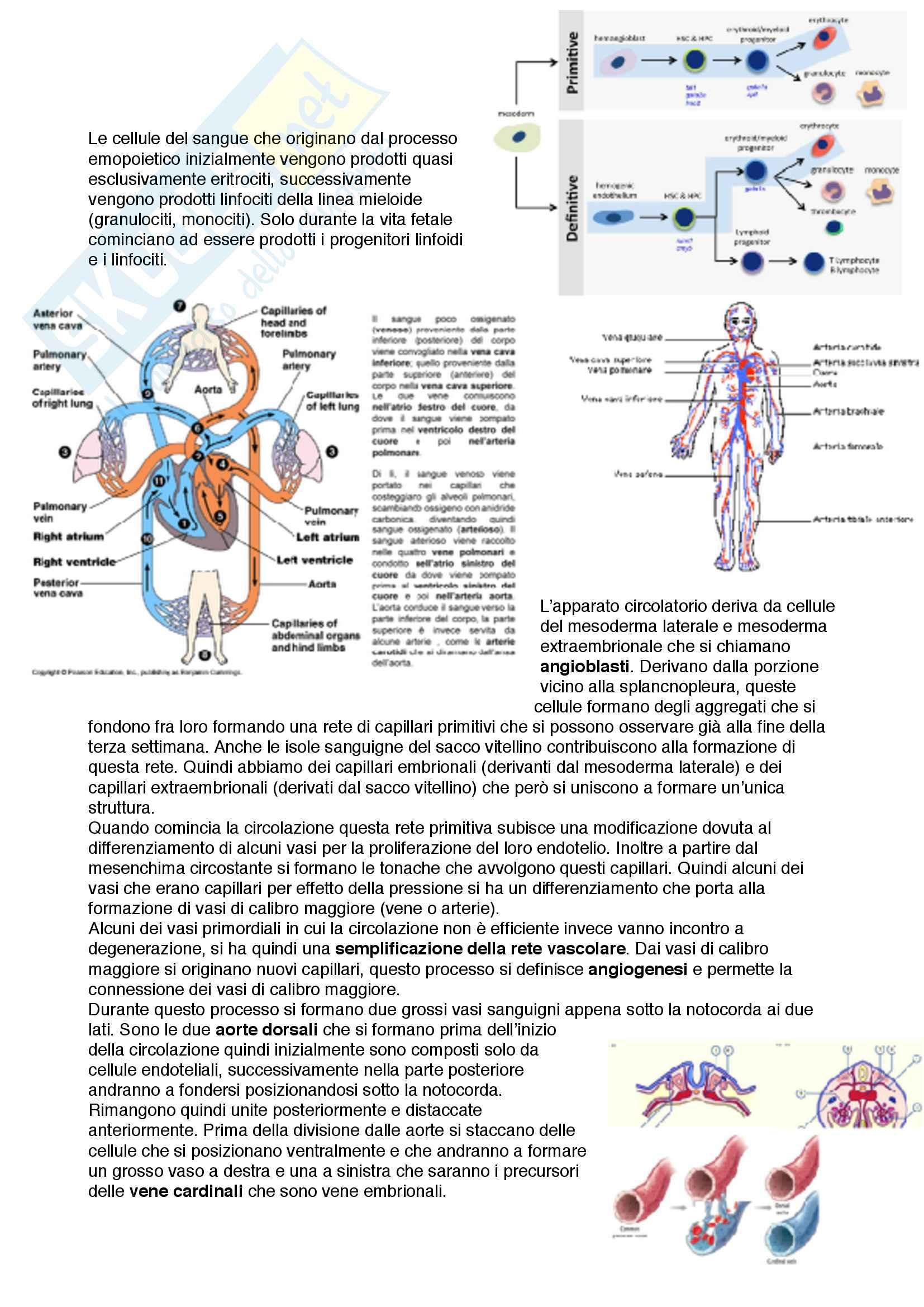 Documento completo con immagini per esame embriologia corso MED 3-4 Unipd Pag. 41