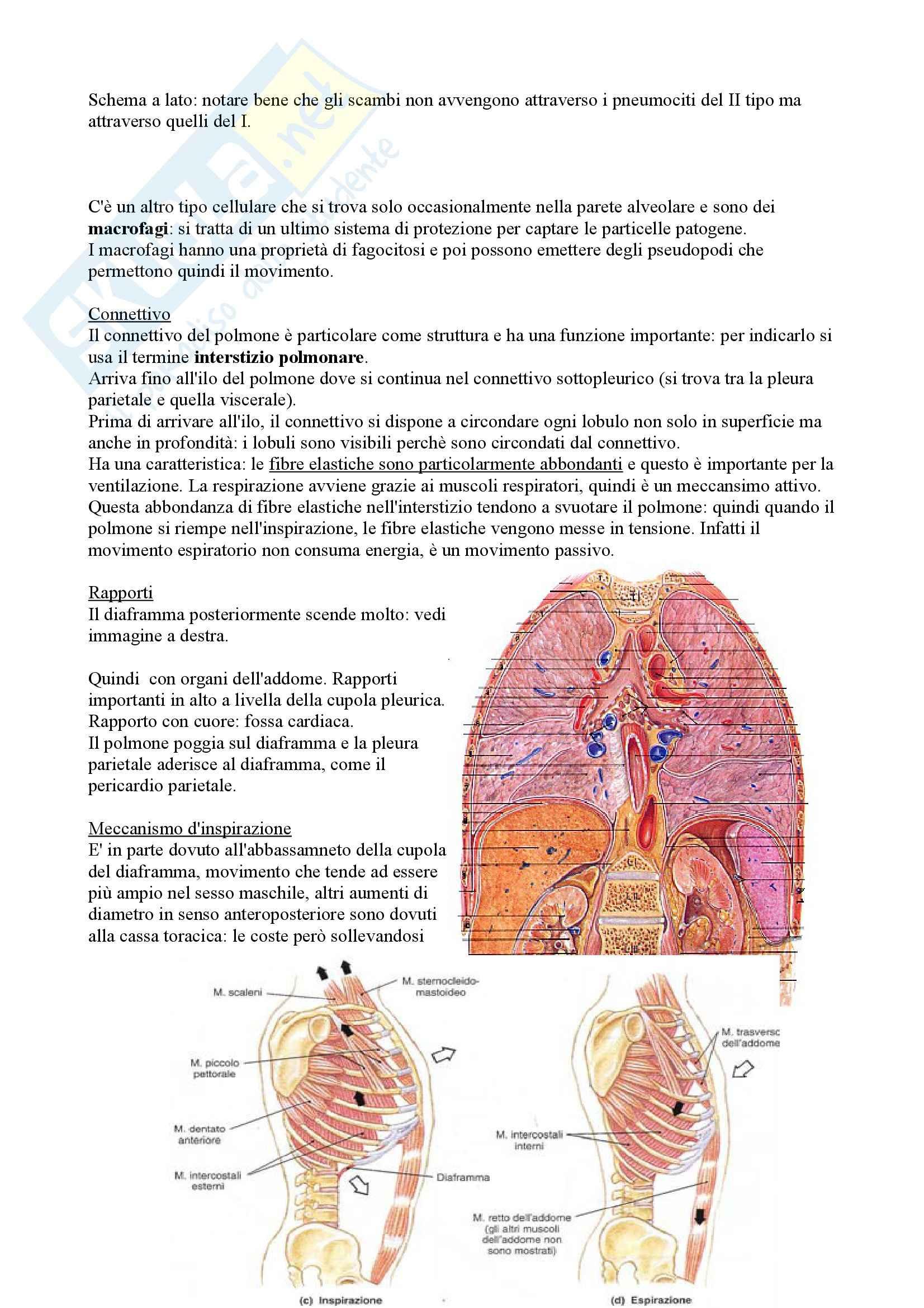 Apparato Respiratorio, Anatomia Pag. 16