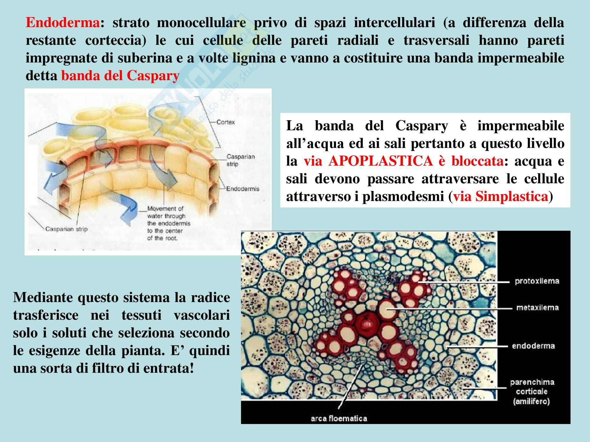 Biologia vegetale - struttura e funzioni della radice Pag. 16