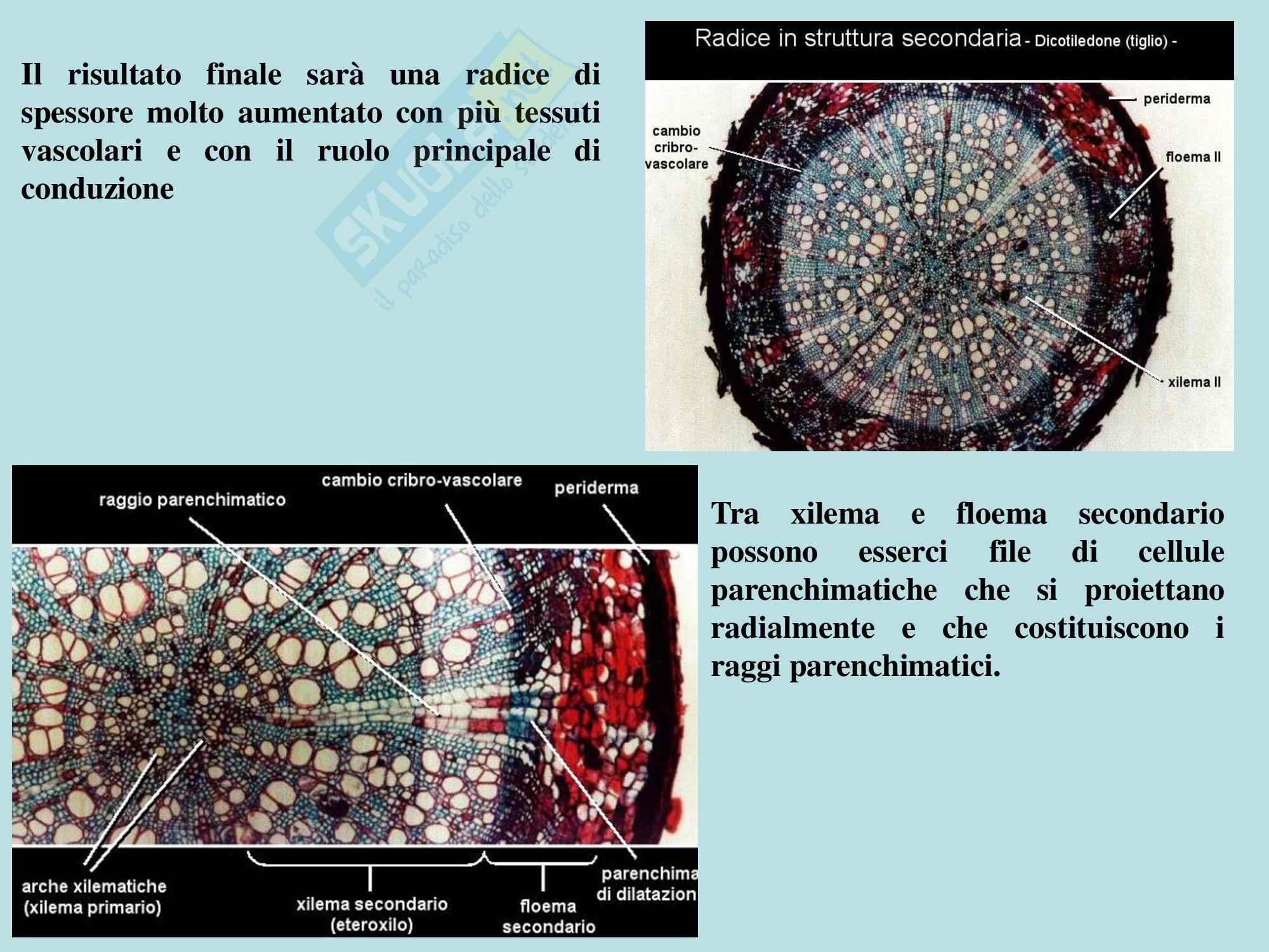 Biologia vegetale - struttura e funzioni della radice Pag. 26