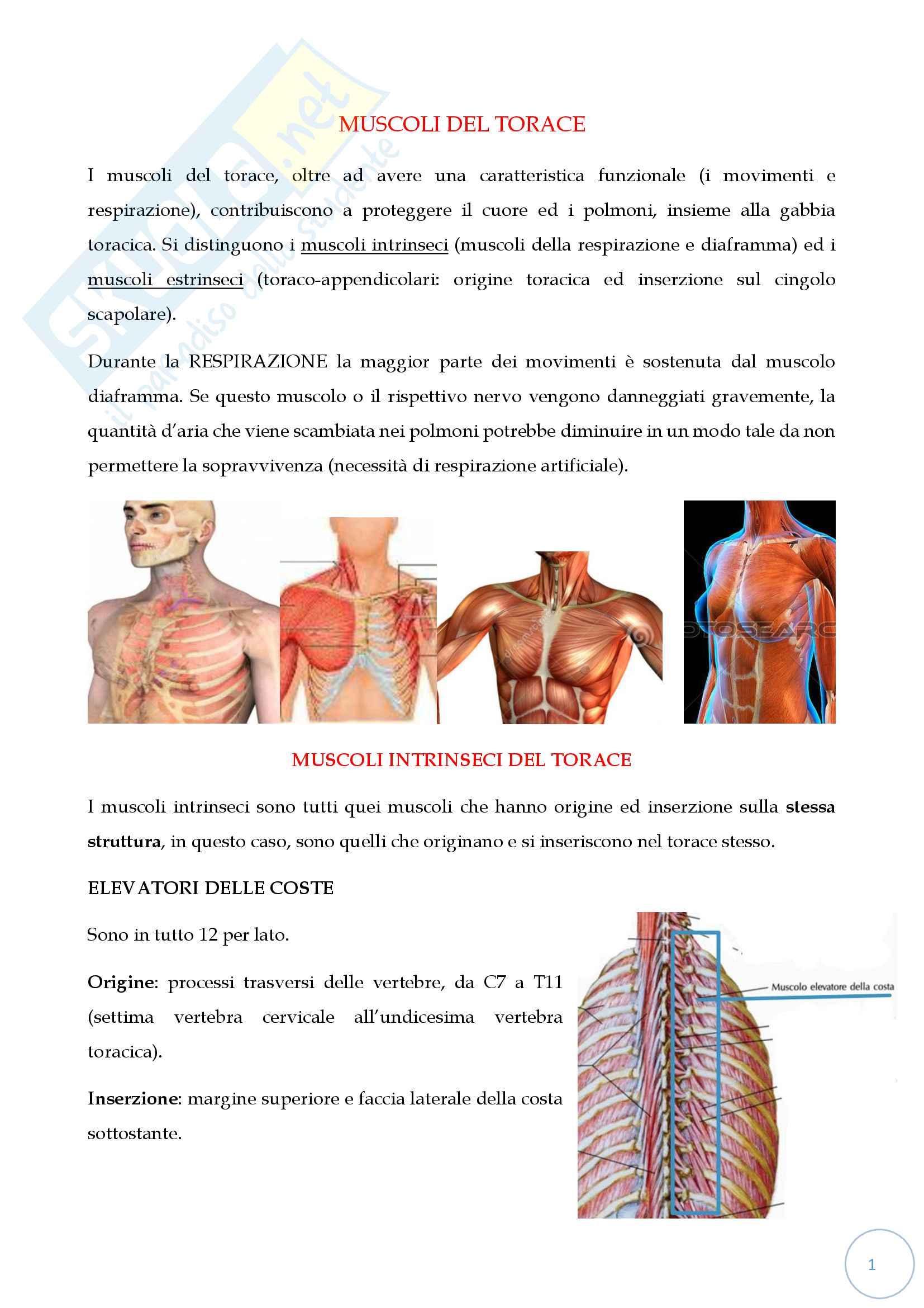 Muscoli del torace: origine, inserzione, movimenti