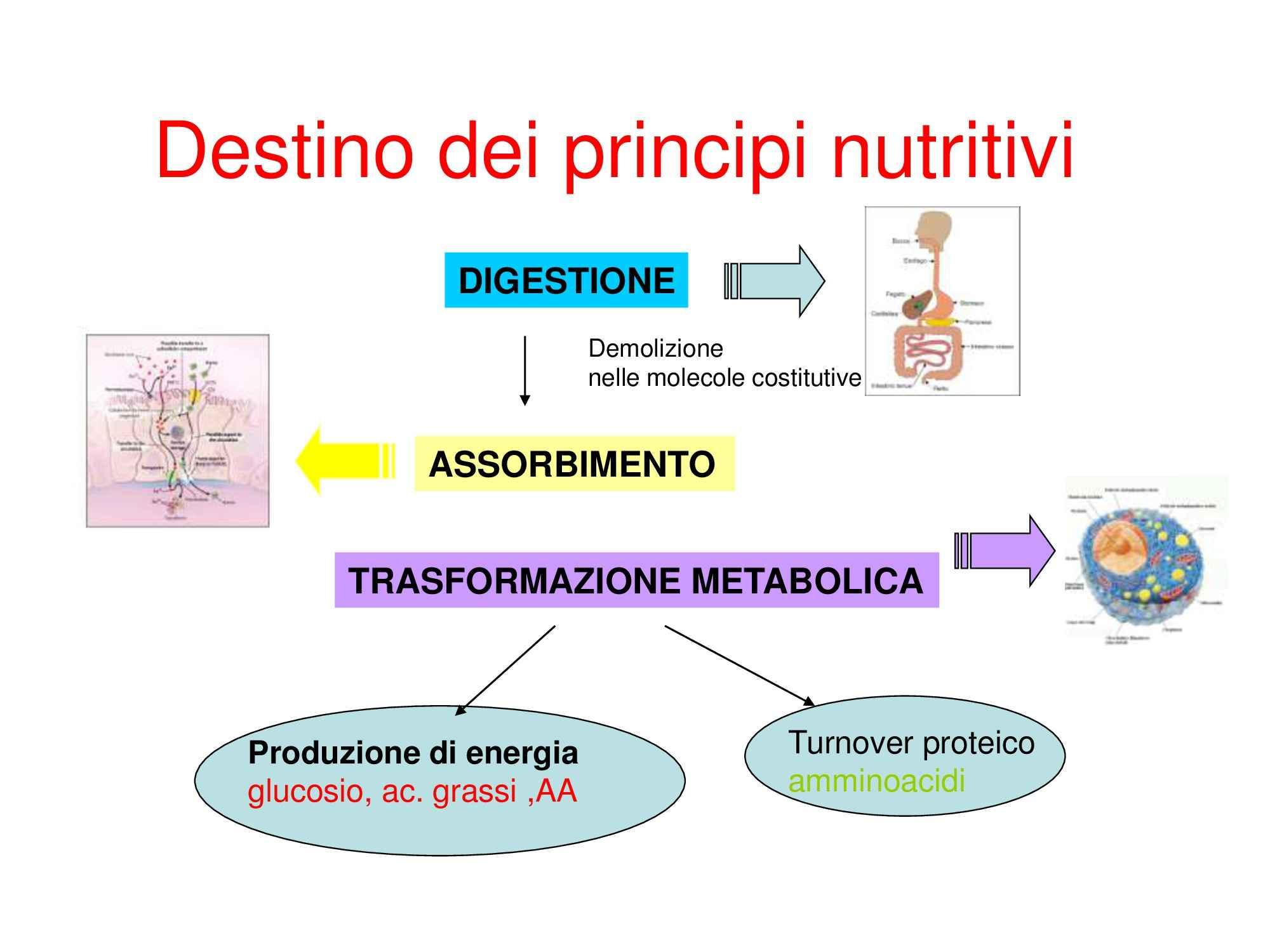 Metabolismo, Dispensa di Chimica degli alimenti