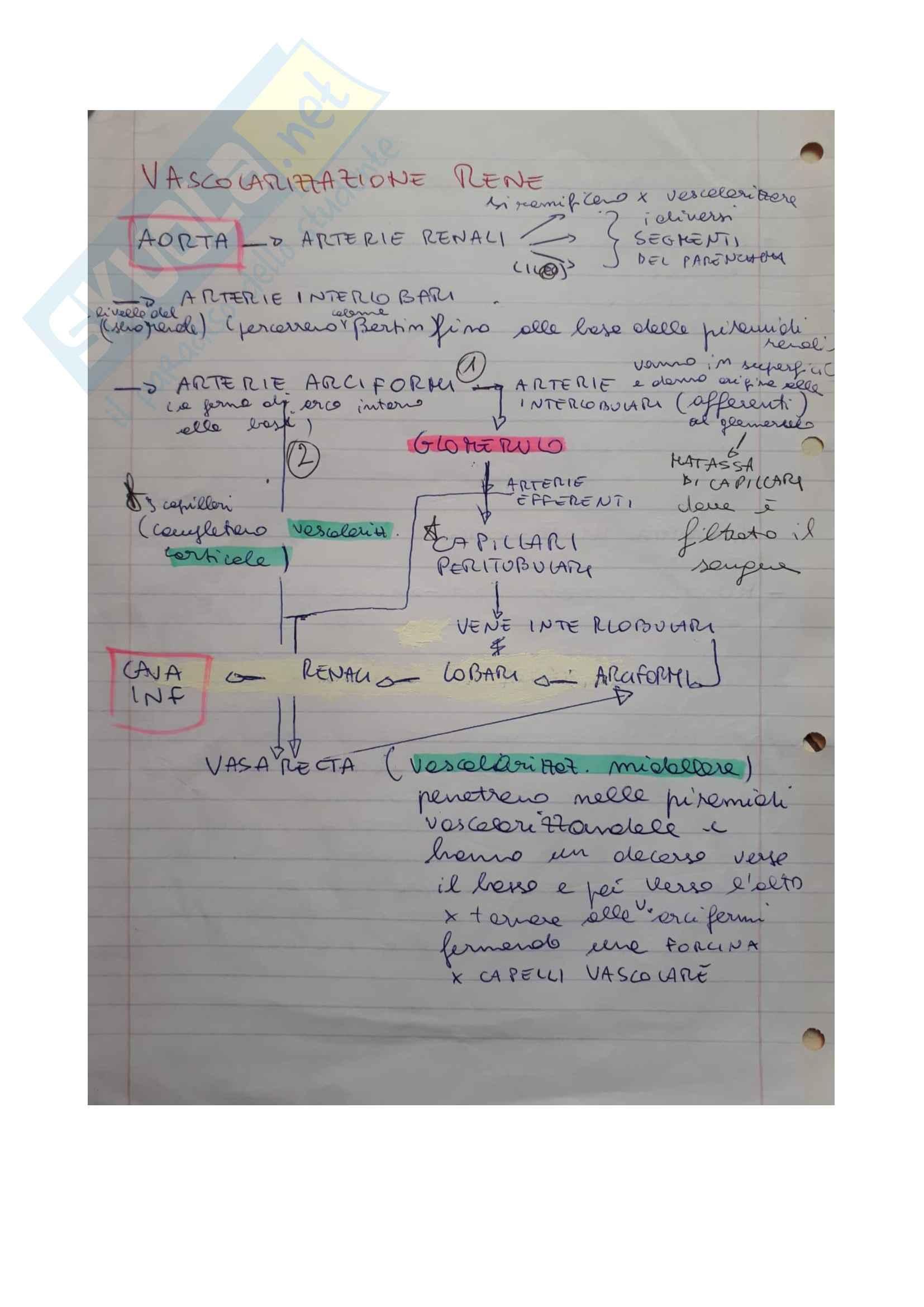 Reni, vascolarizzazione e anatomia nefrone