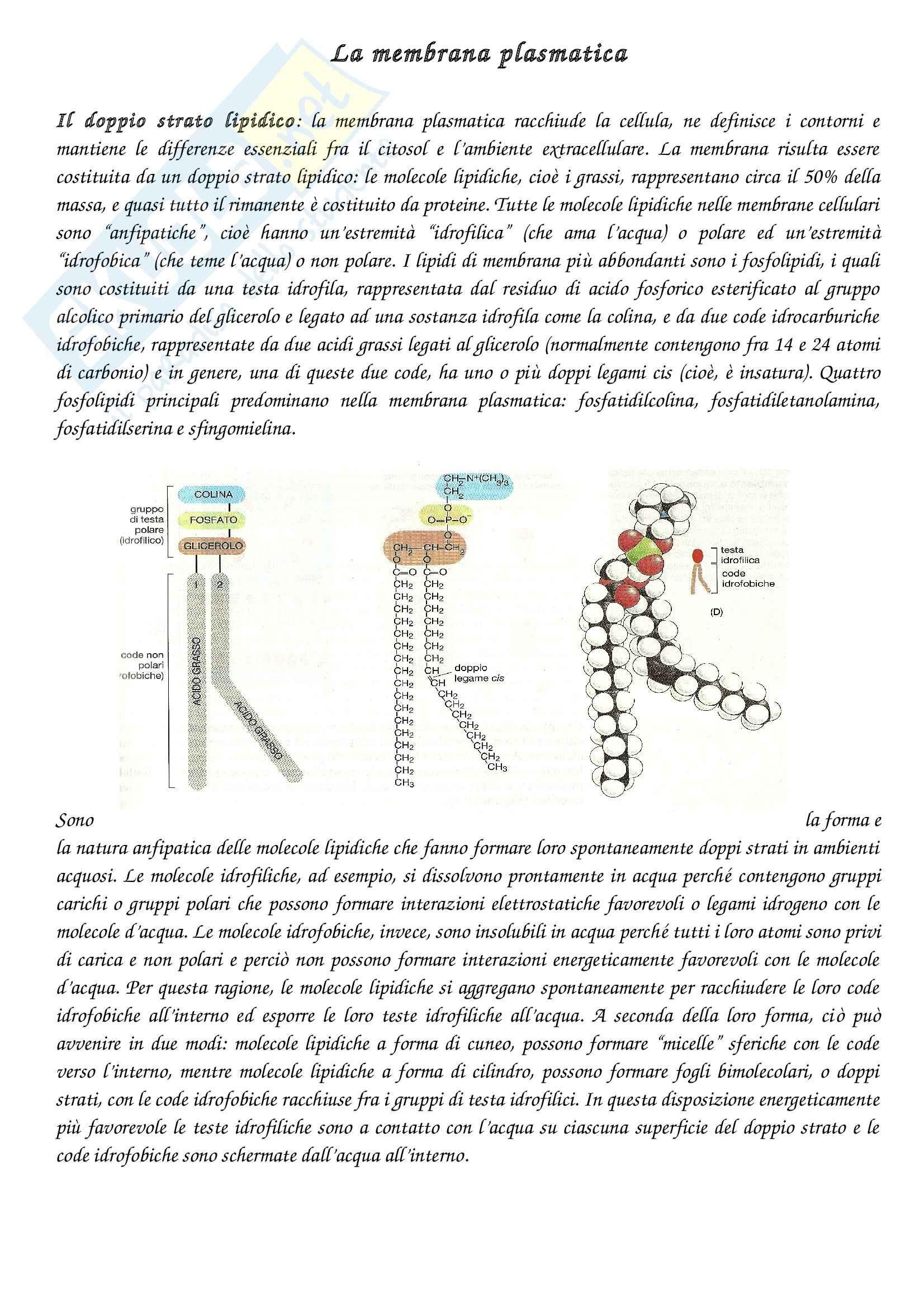 Riassunto esame Biologia cellulare, prof. Ambrosino, libro consigliato Biologia molecolare della cellula,Alberts, Johnson, Lewis