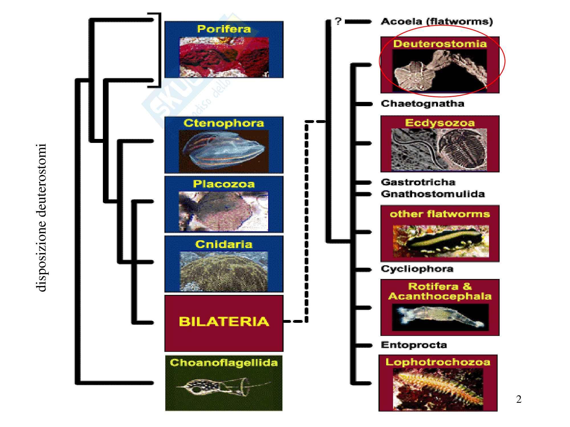 Echinodermi, zoologia, scienze biologiche Pag. 2