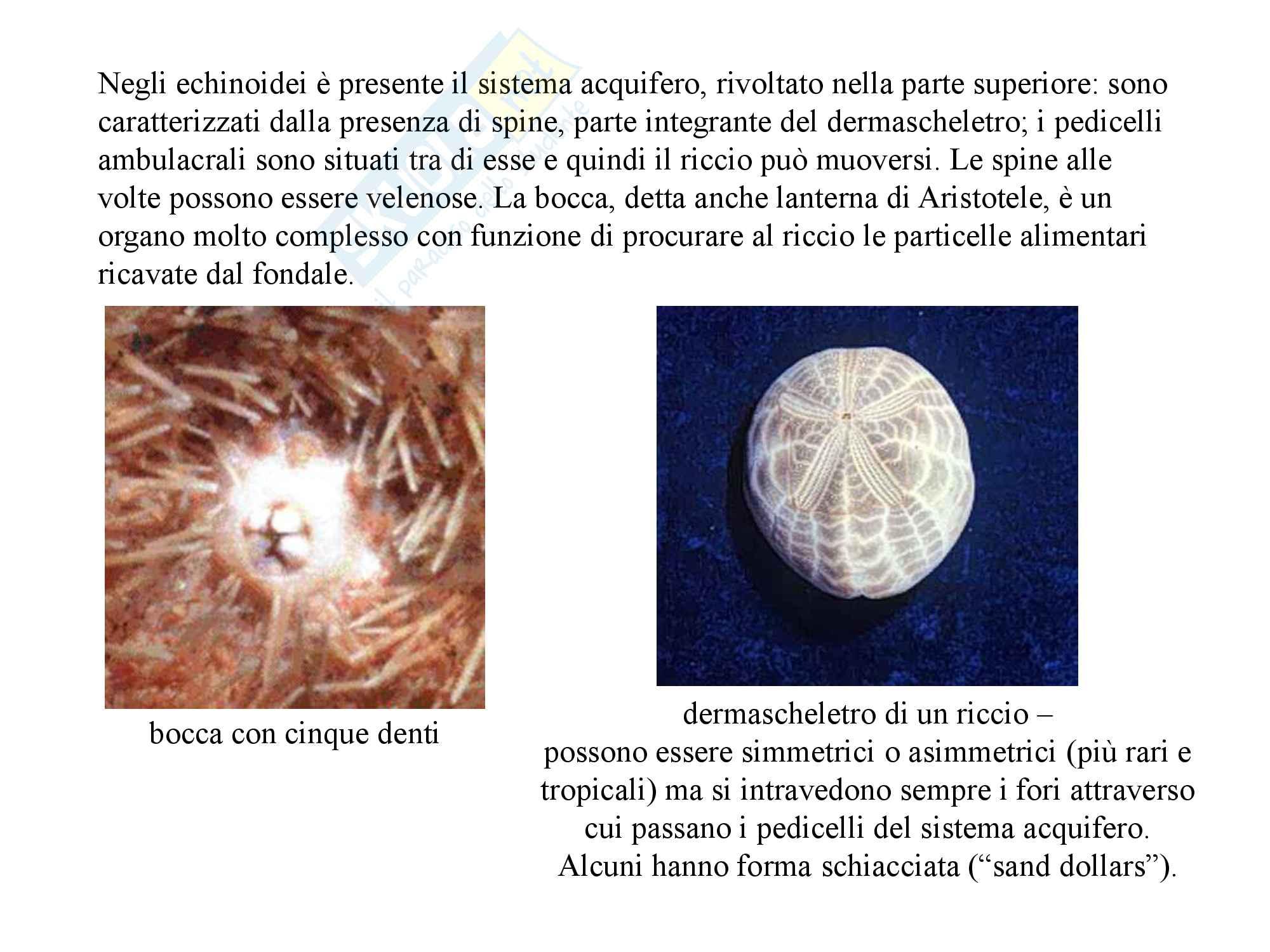 Echinodermi, zoologia, scienze biologiche Pag. 21