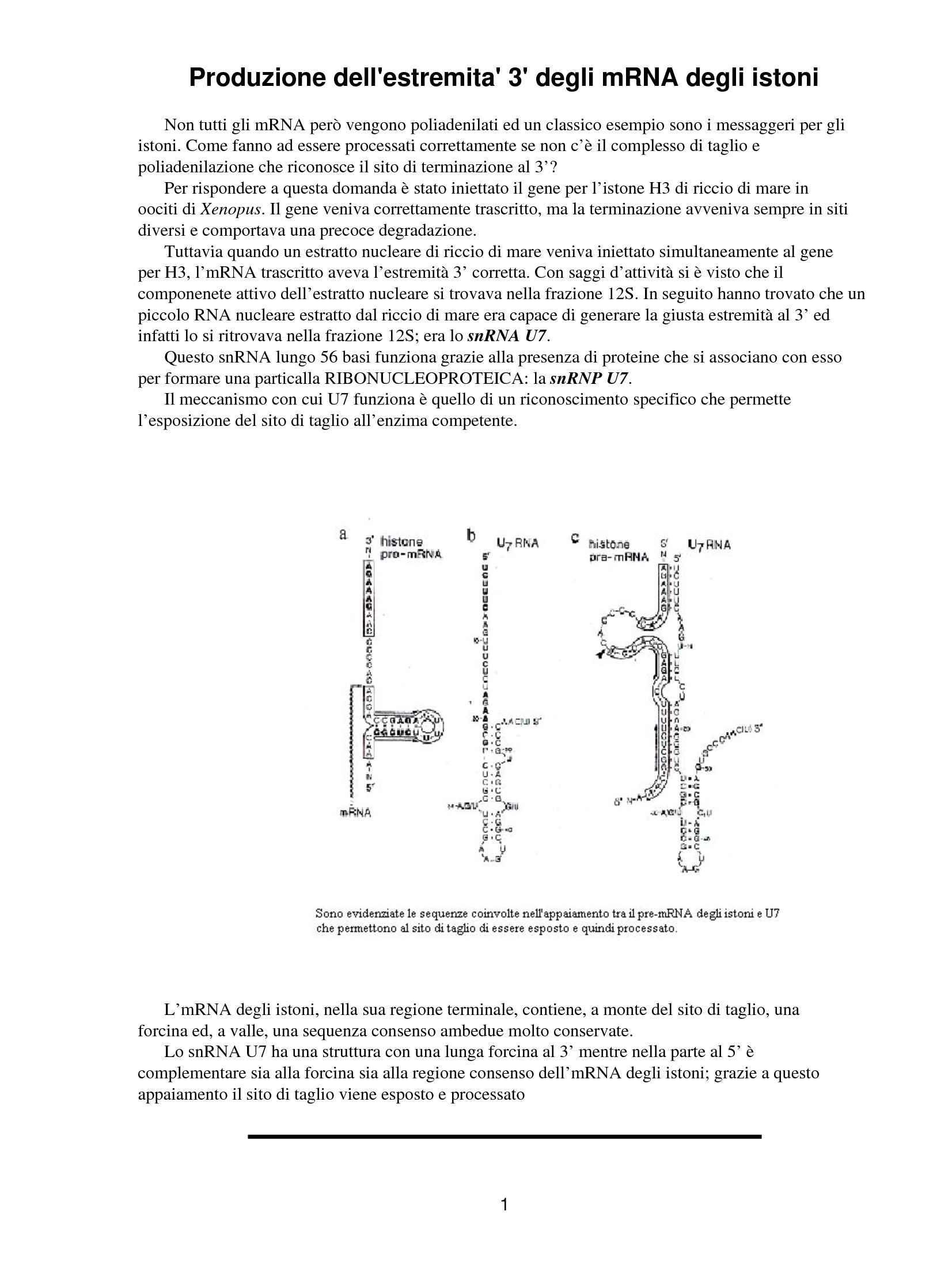 Produzione dell'estremità 3 degli RNA degli istoni