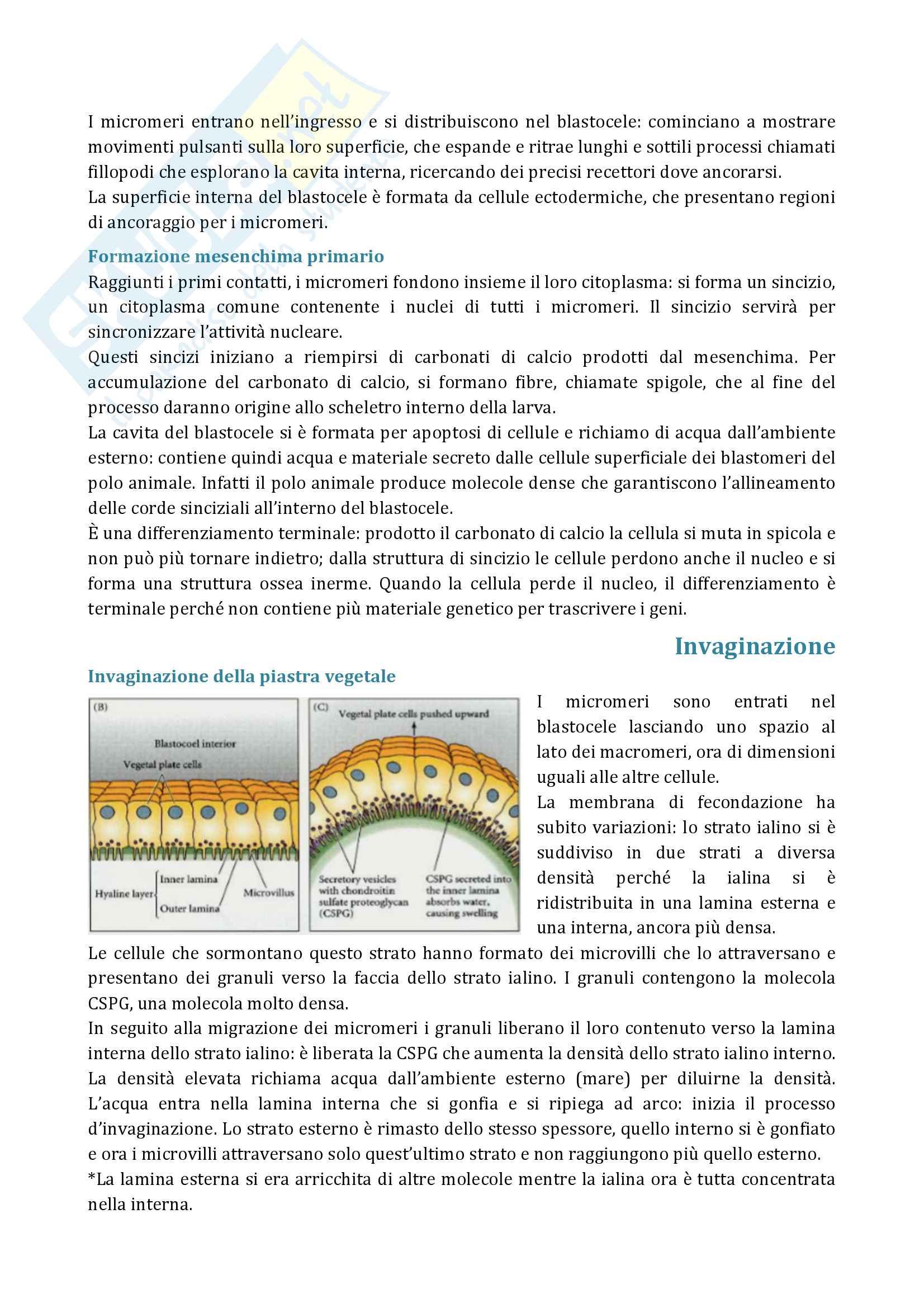 Segmentazione e gastrulazione Pag. 6