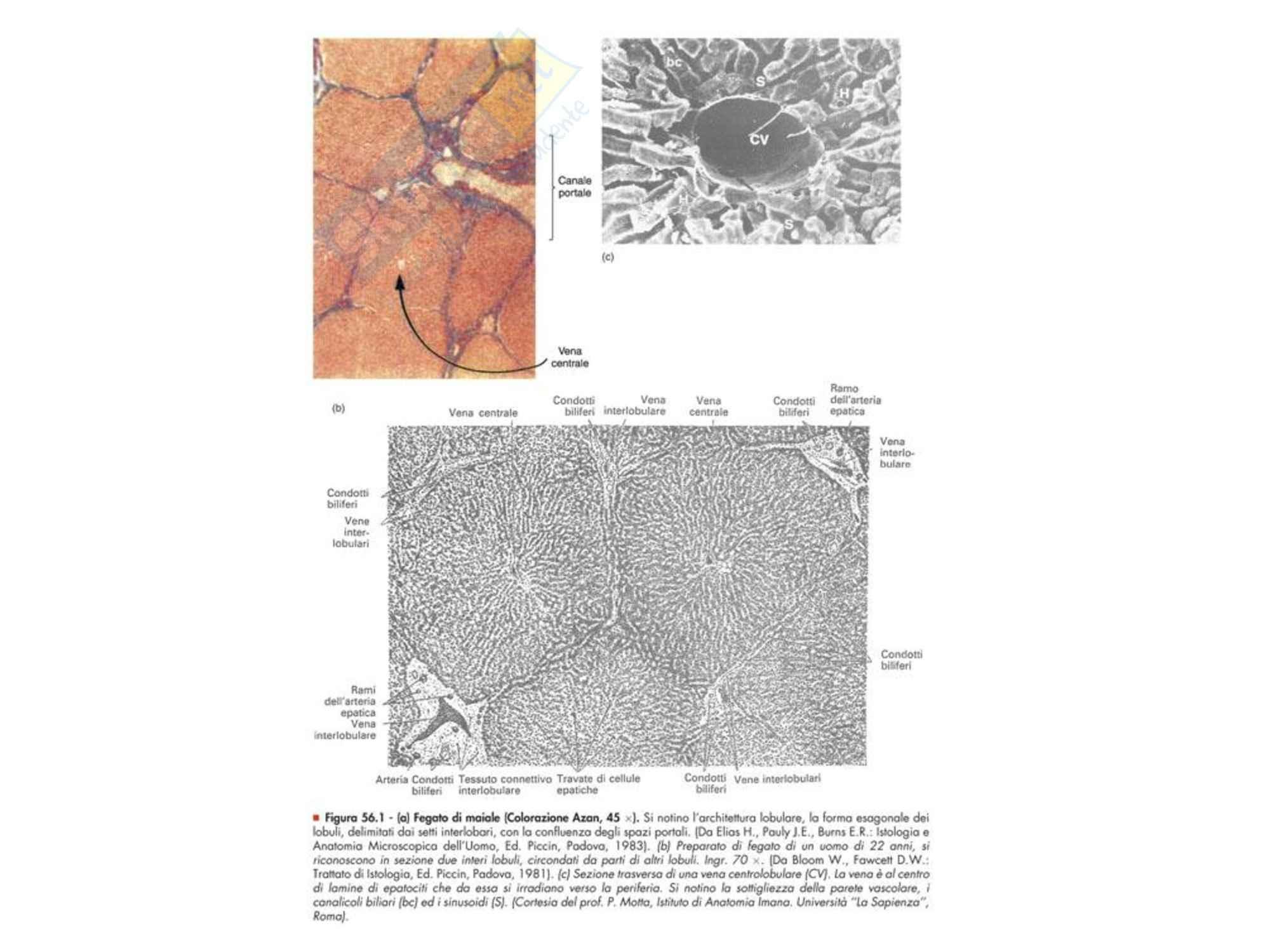 Fisiopatologia - Fegato