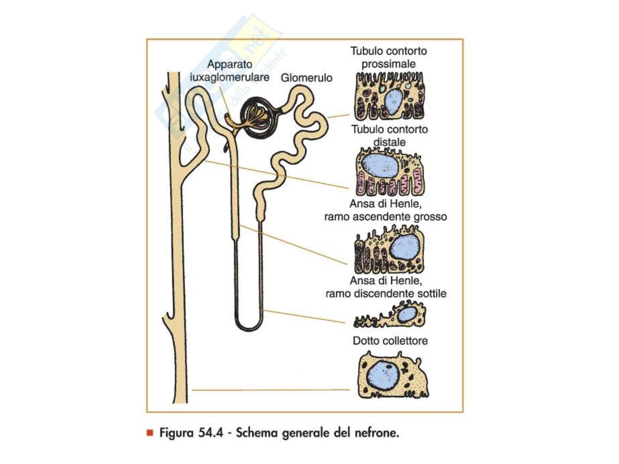 Fisiopatologia - Reni Pag. 2