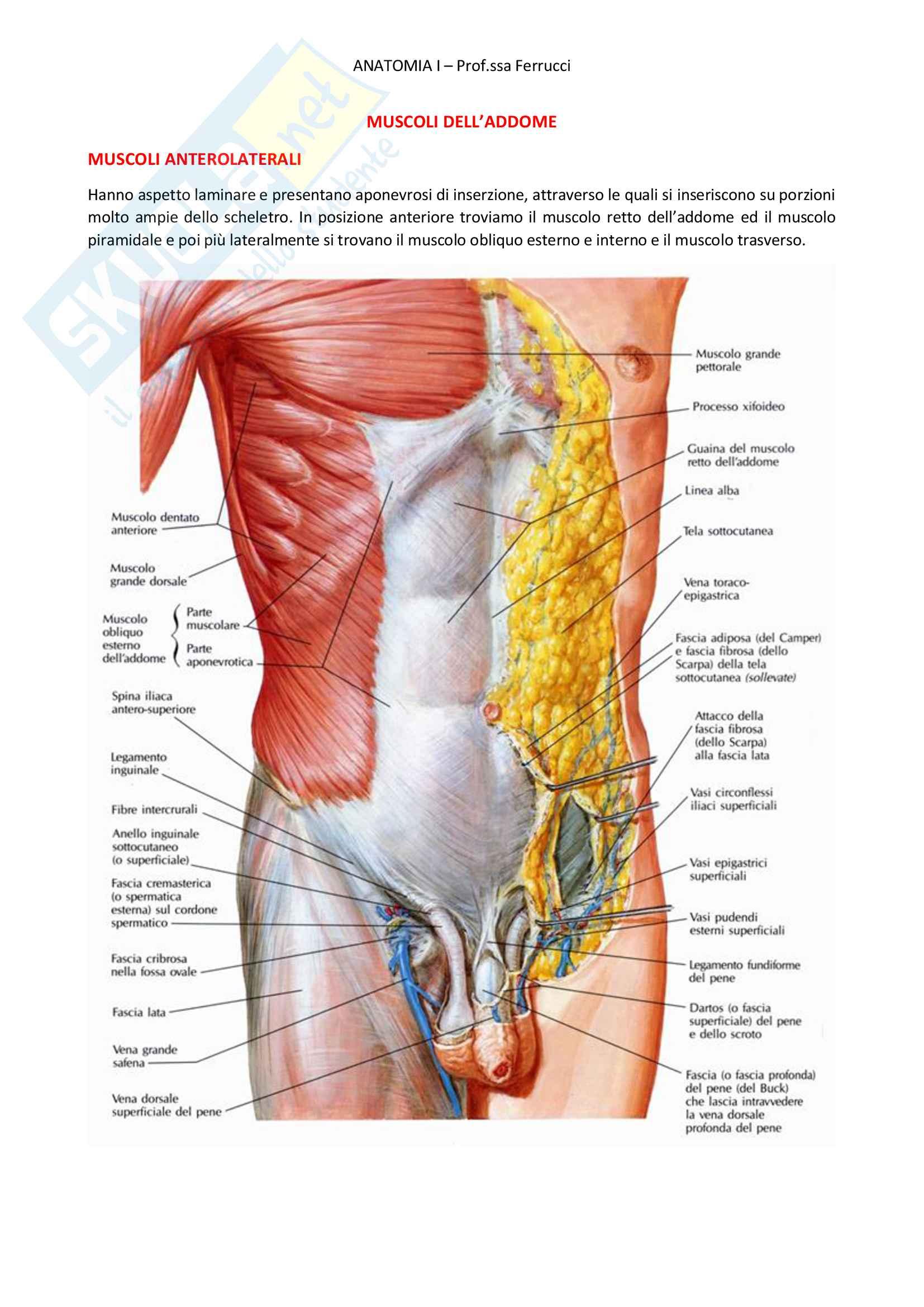 14 Muscoli dell'addome OK