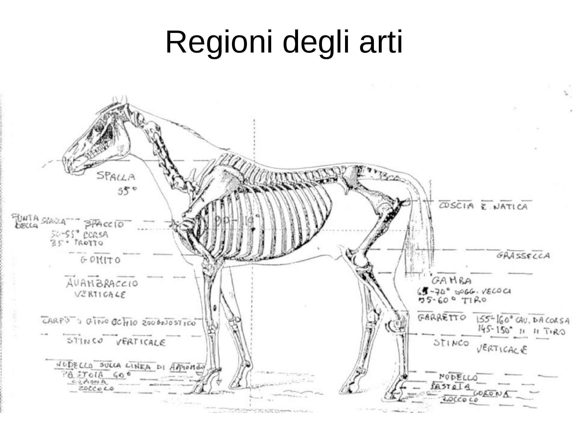 Valutazione degli equini - Appiombi