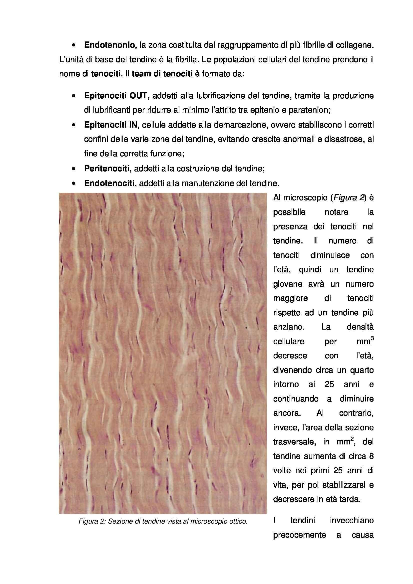 Istologia e embriologia - tendine Pag. 2