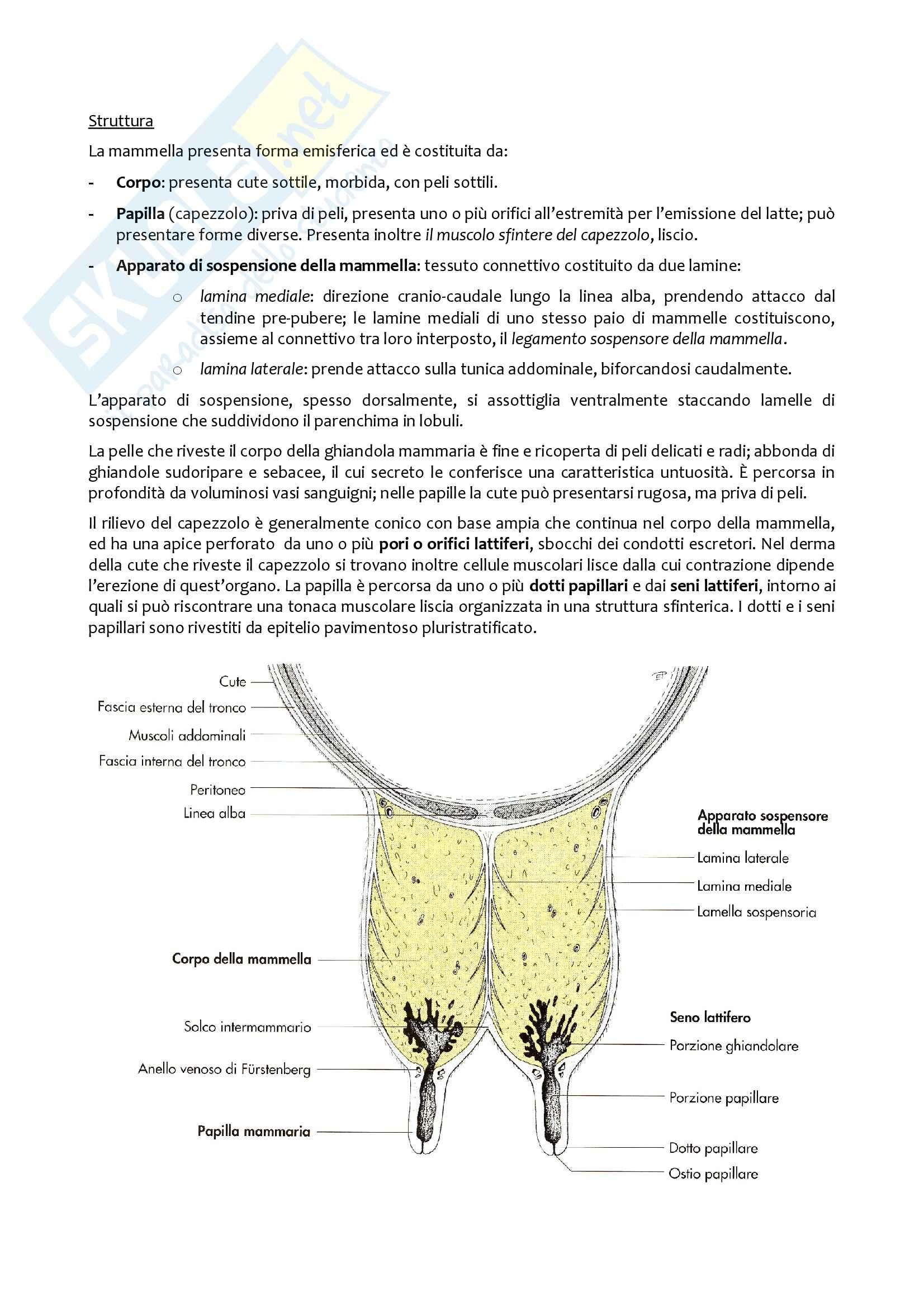 Mammella, Anatomia con elementi di istologia Pag. 2