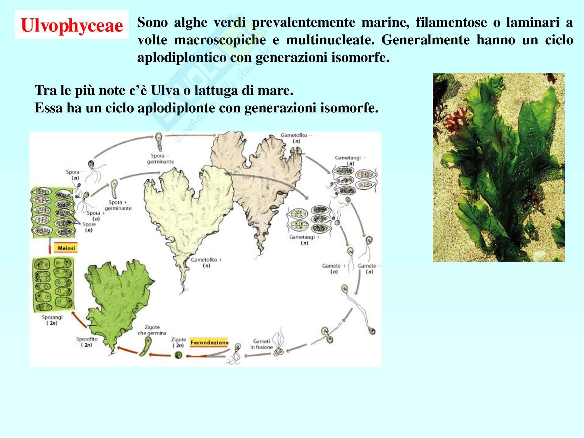 Biologia vegetale - alghe e cicli riproduttivi Pag. 26