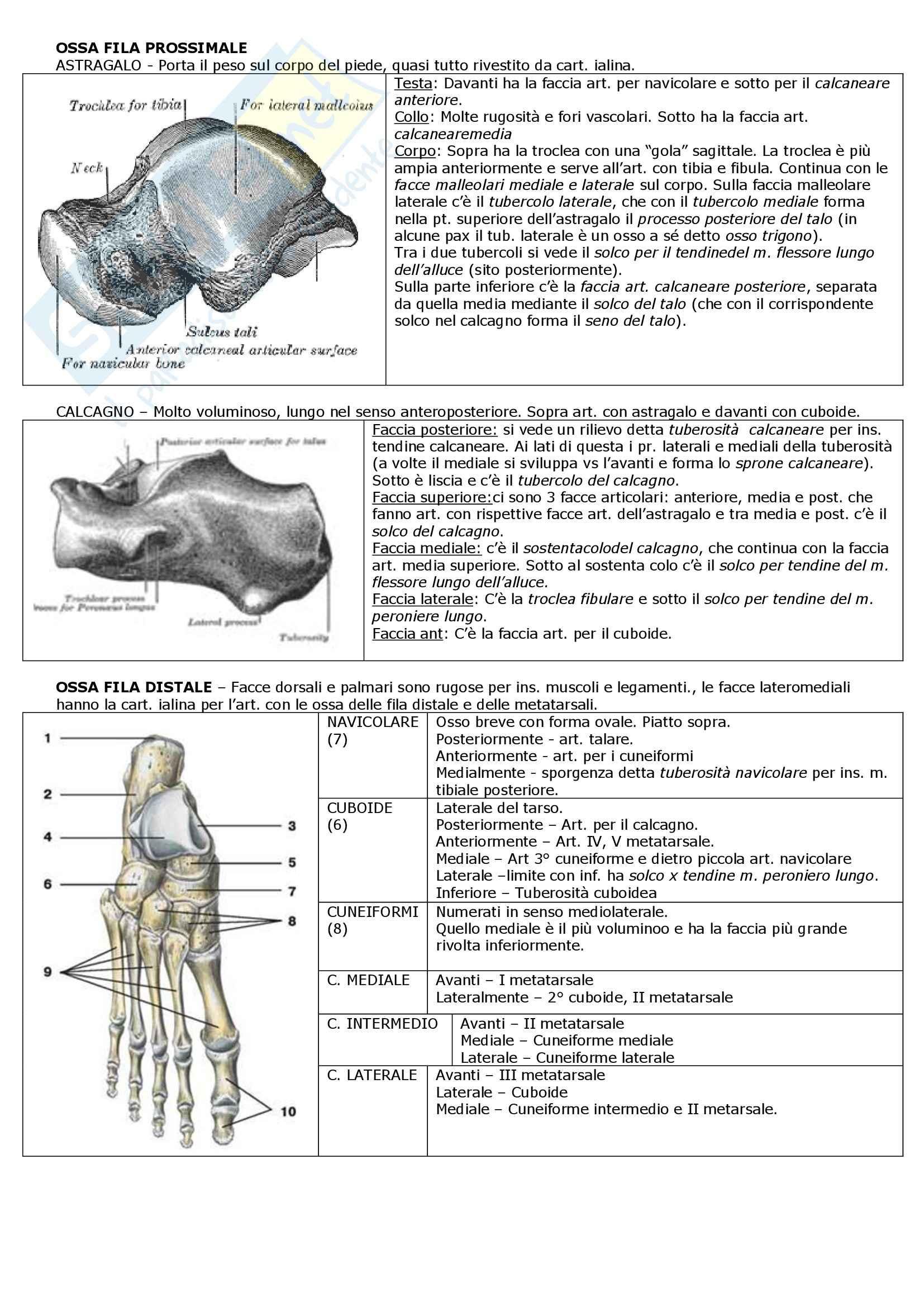 Riassunto esame Anatomia: apparato locomotore, prof. Mammola Pag. 46