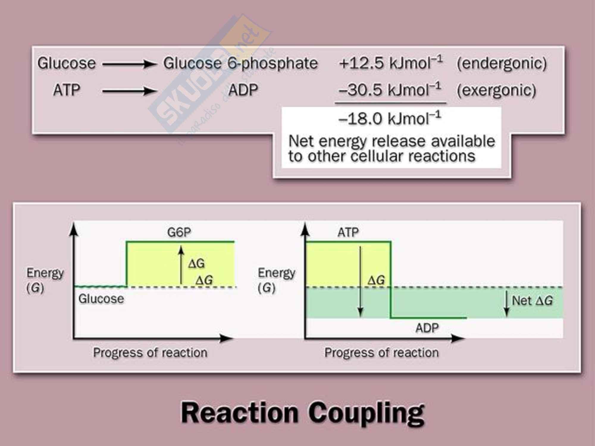 Biochimica -  L' accoppiamento energetico