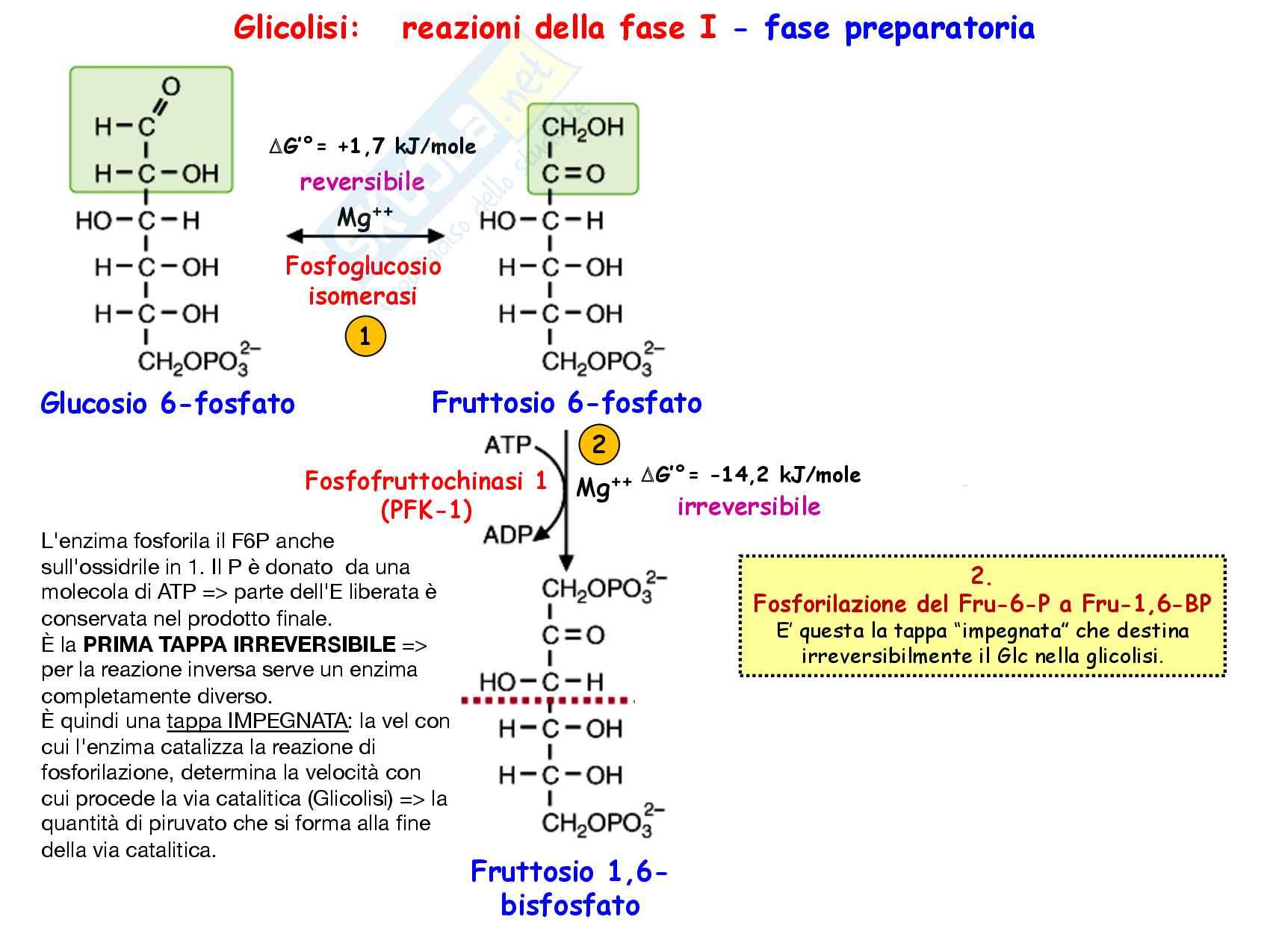 3 Glicolisi e destini metabolici del piruvato, reazioni chimiche, regolazione e funzioni Pag. 16