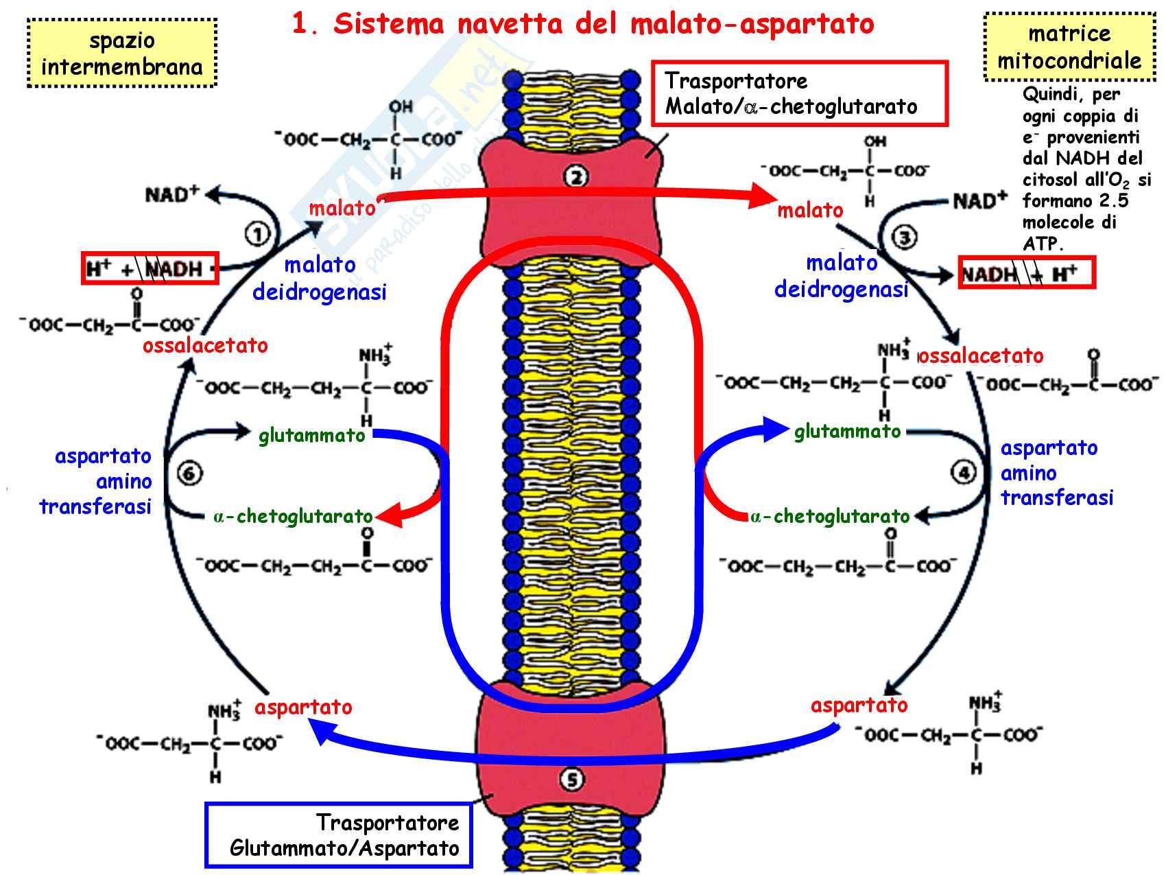 3 Glicolisi e destini metabolici del piruvato, reazioni chimiche, regolazione e funzioni Pag. 31