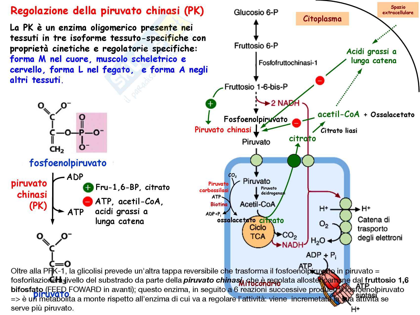 3 Glicolisi e destini metabolici del piruvato, reazioni chimiche, regolazione e funzioni Pag. 46