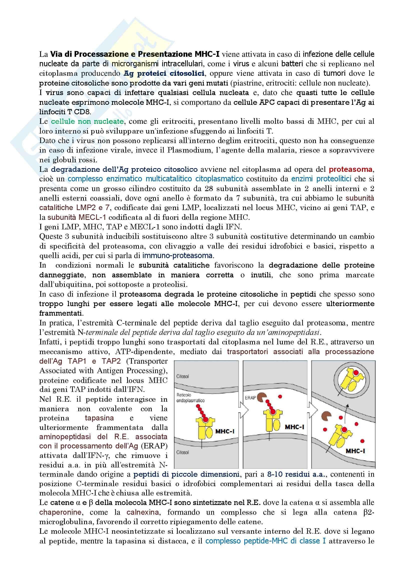 Immunologia – via di processazione e presentazione MHC-I