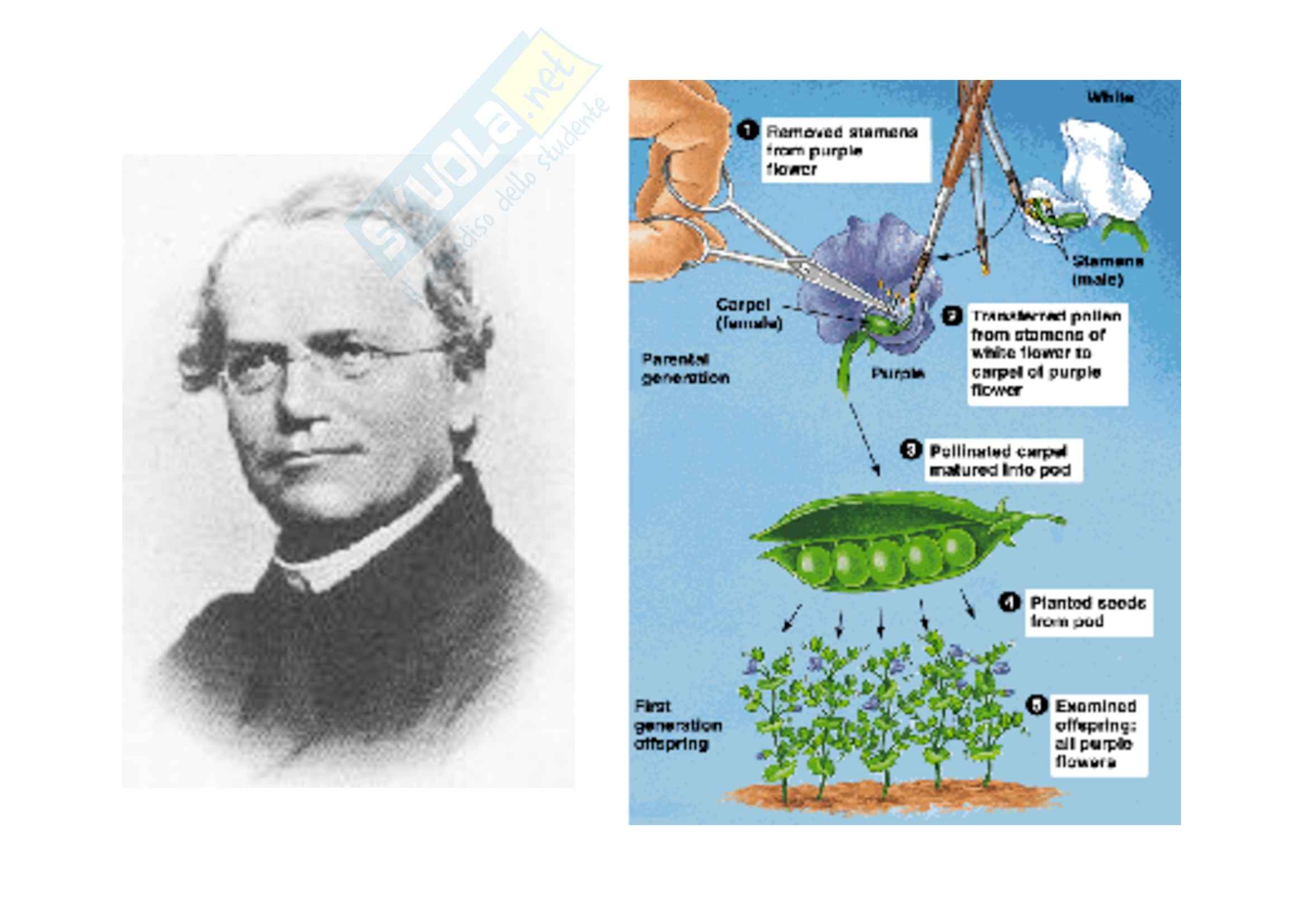 Genetica umana - variabilità del fenotipo - Appunti