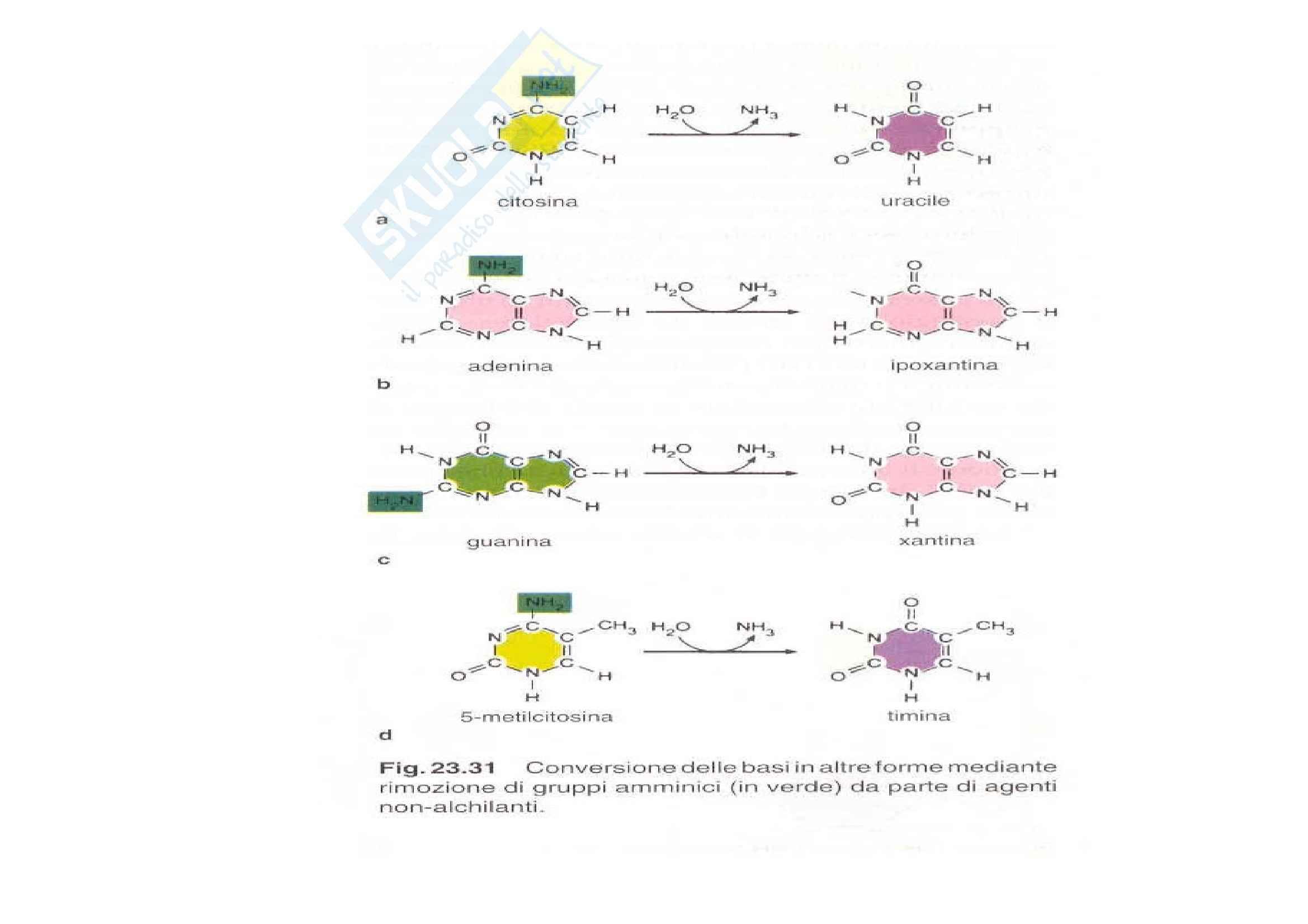 Biologia e genetica - mutazioni genetiche Pag. 31