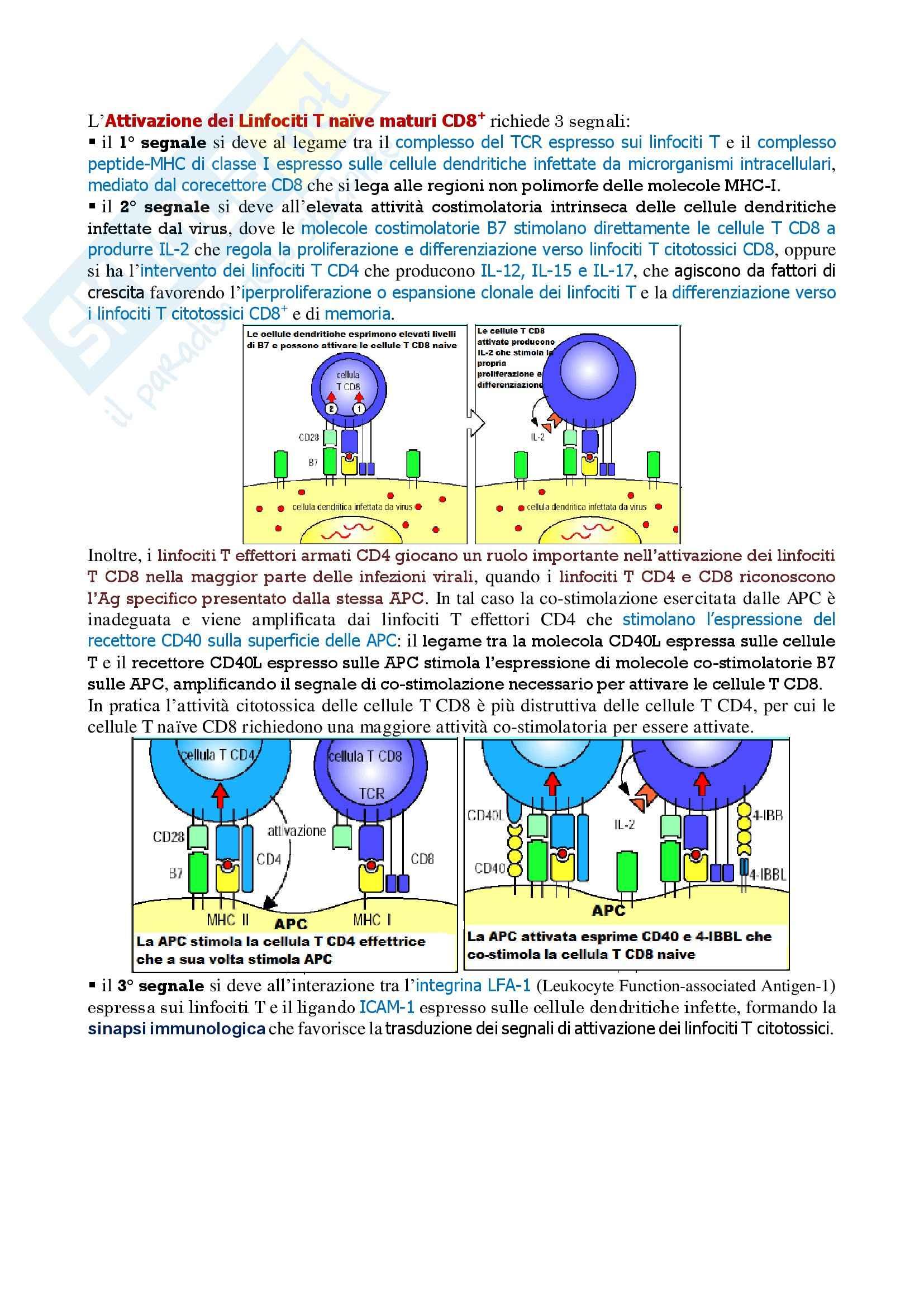 Immunologia – attivazione dei linfociti T naive maturi CD8